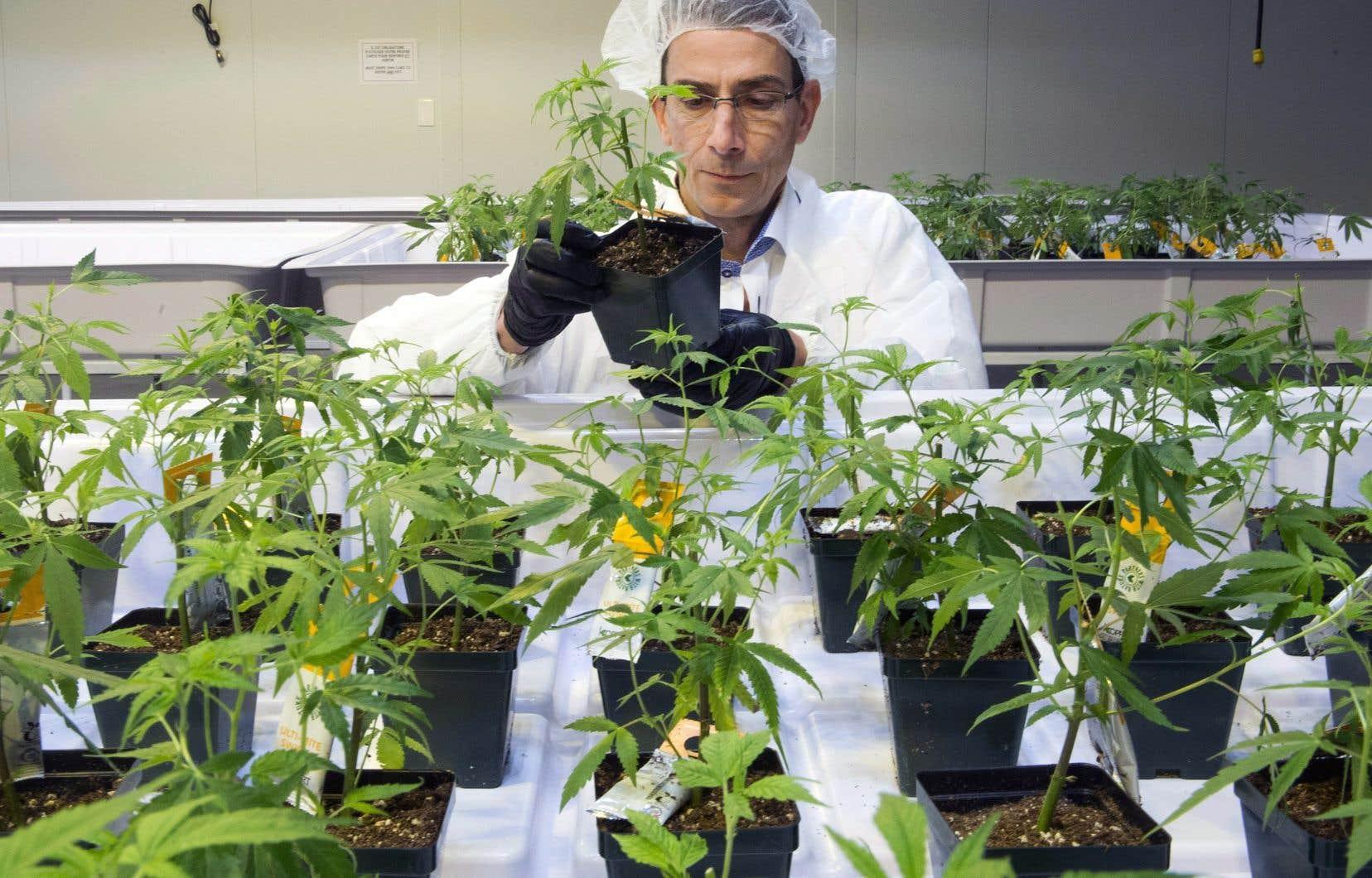 Dale Wilesack analyse des plants de cannabis dans les installations de Aurora Cannabis.