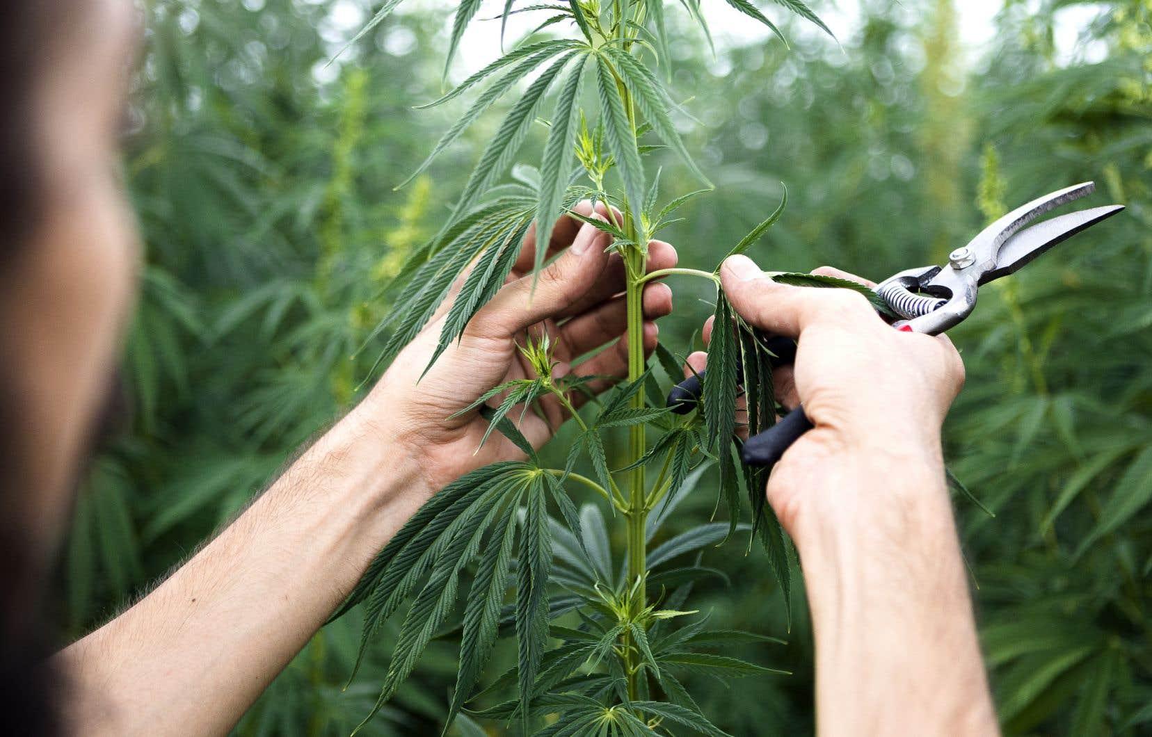 La récolte de cannabis des Serres Bertrand et de Canopy Growth serait destinée d'abord et avant tout au Québec, assure Adam Greenblatt.