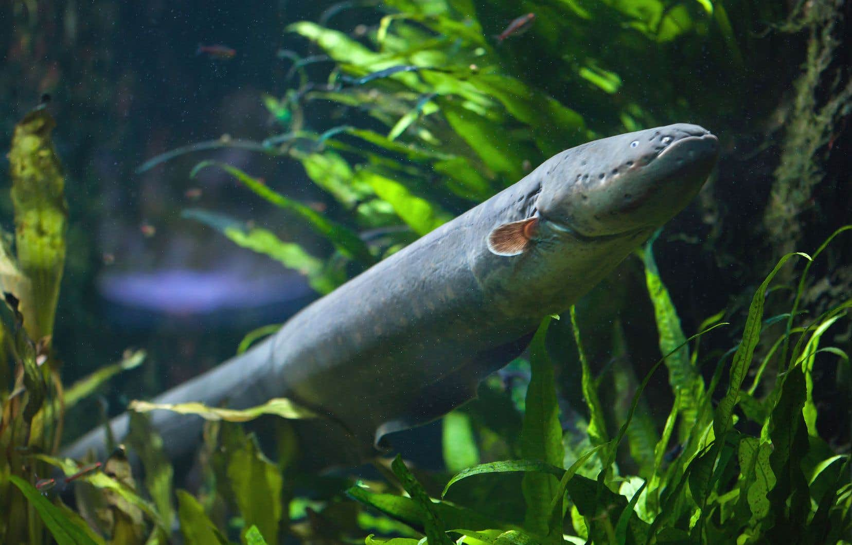 C'est du côté de la nature que les scientifiques ont trouvé l'inspiration. Les anguilles électriques sont dotées d'électrocytes, des cellules capables de générer des courants électriques par un jeu de transfert d'ions positifs et négatifs entre les milieux intérieur et extérieur.