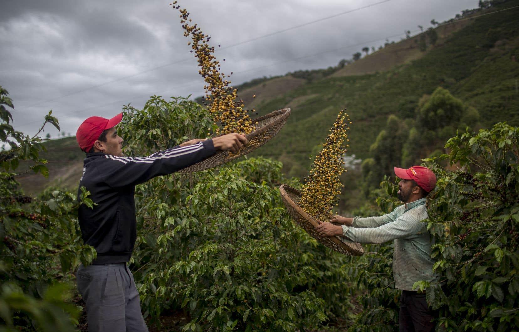 Premier producteur et exportateur mondial de café, le Brésil n'est pas épargné par le réchauffement climatique.