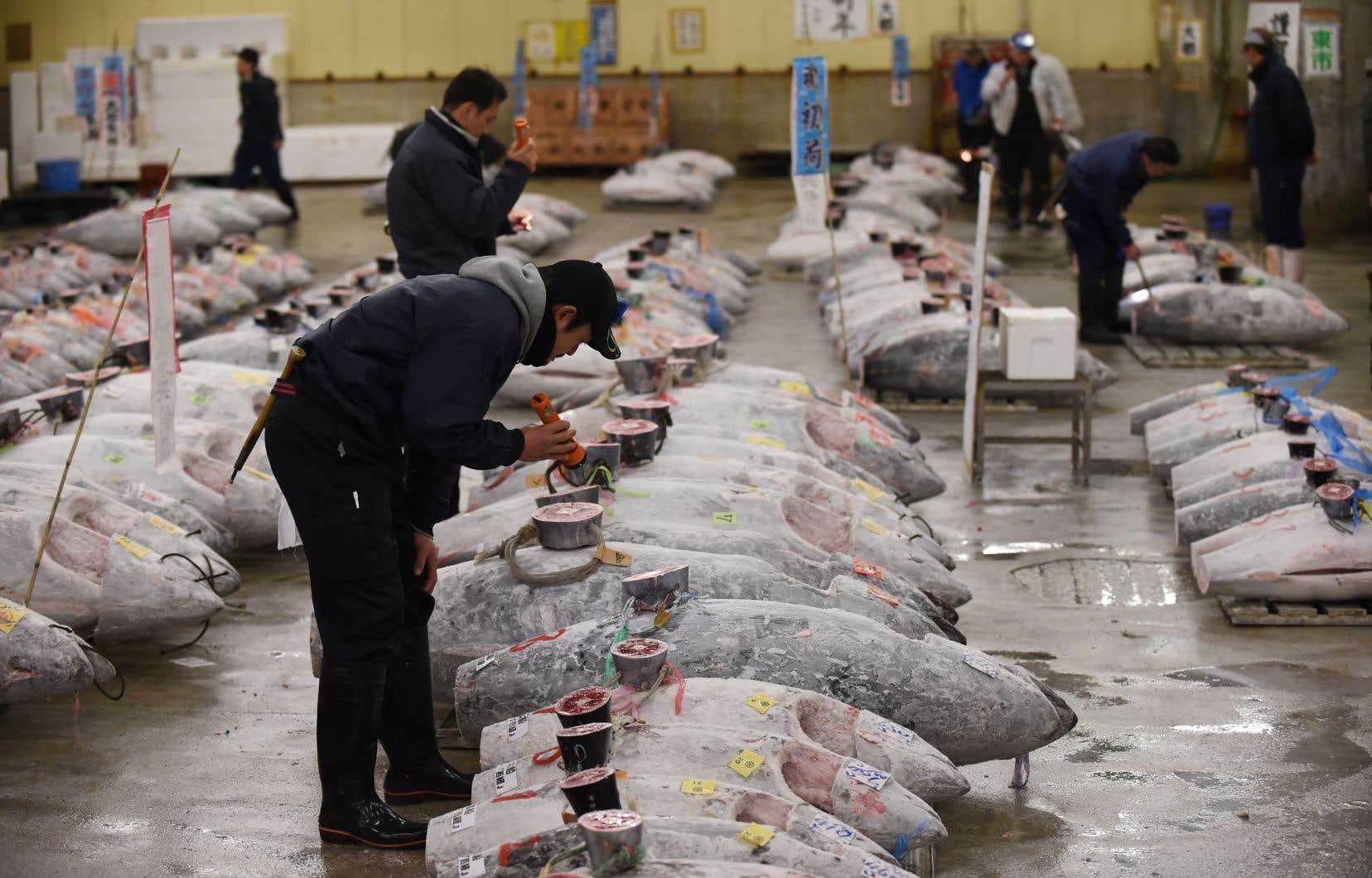 Des acheteurs inspectent minutieusement la qualité du thon au marché de Tsukiji, au coeur de Tokyo.
