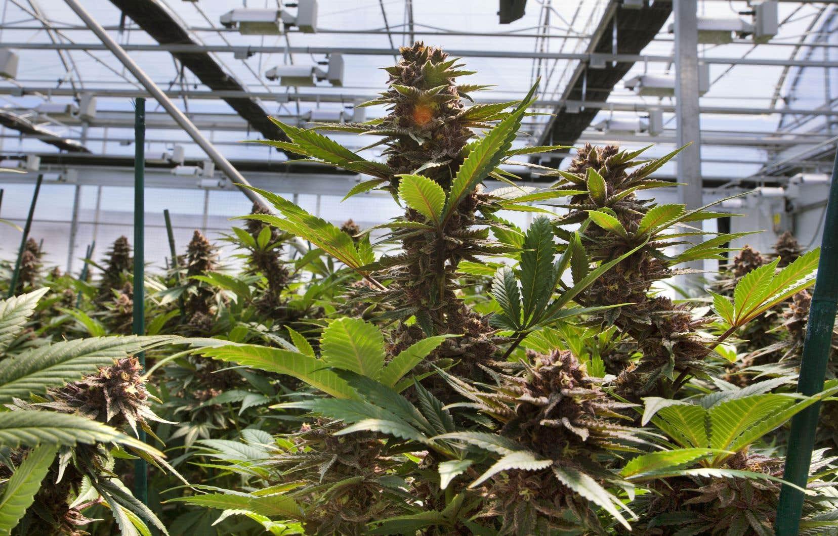 Les producteurs de marijuana pourront bénéficier d'un tarif préférentiel d'Hydro-Québec.