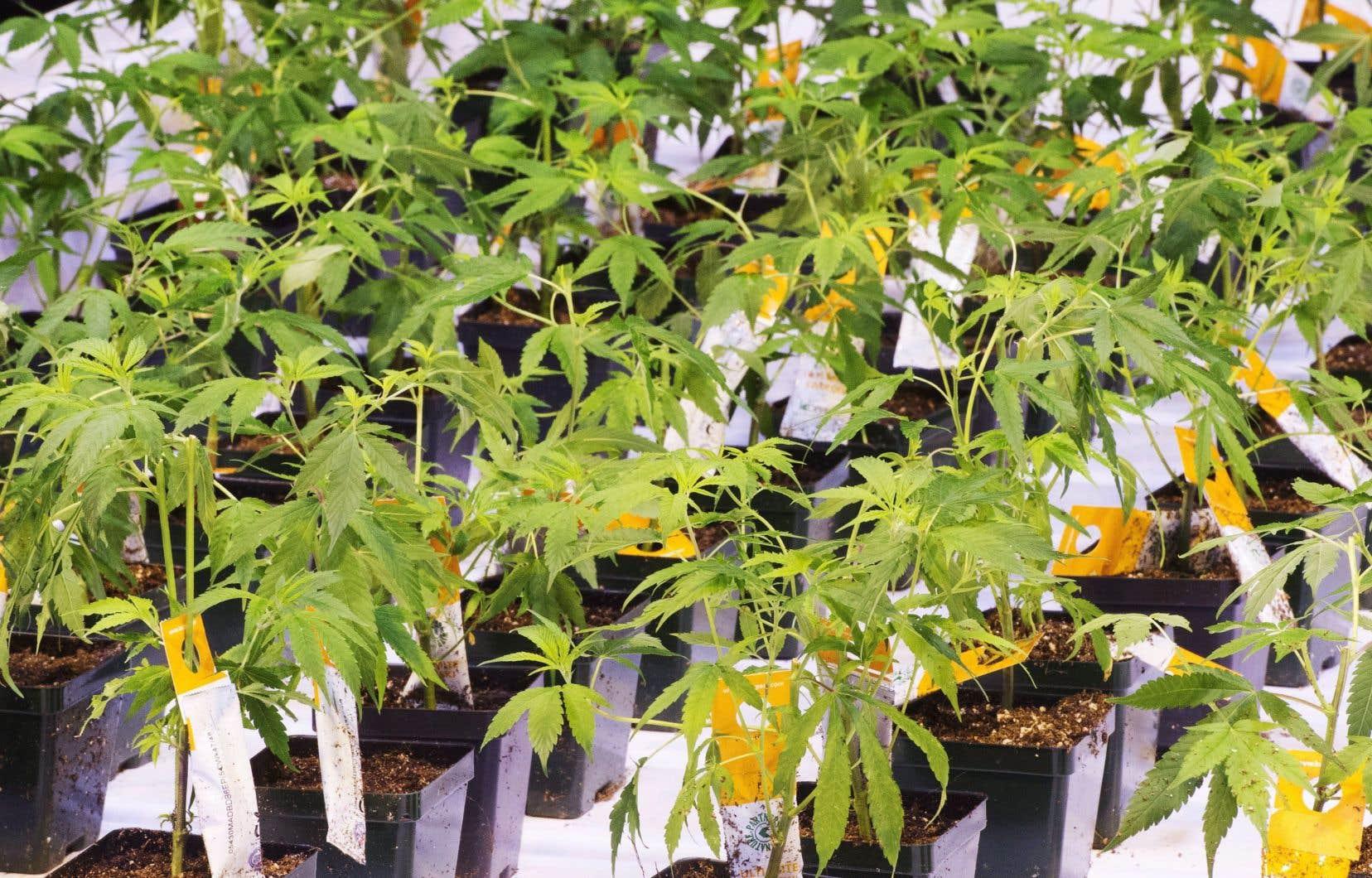 Aurora Cannabis, qui possède un complexe de production à Pointe-Claire, a reculé de 17% à 8,50$.