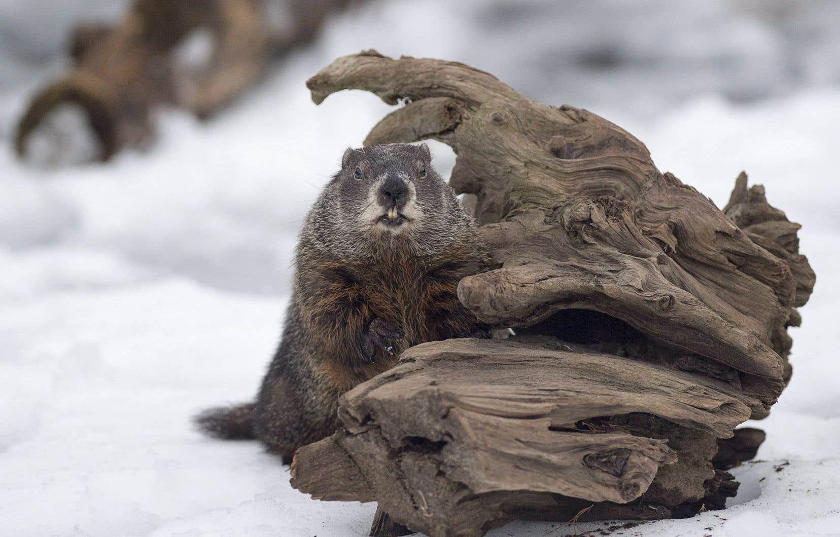 La marmotte de la Nouvelle-Écosse, Shubenacadie Sam, estime elle aussi que le printemps sera hâtif.