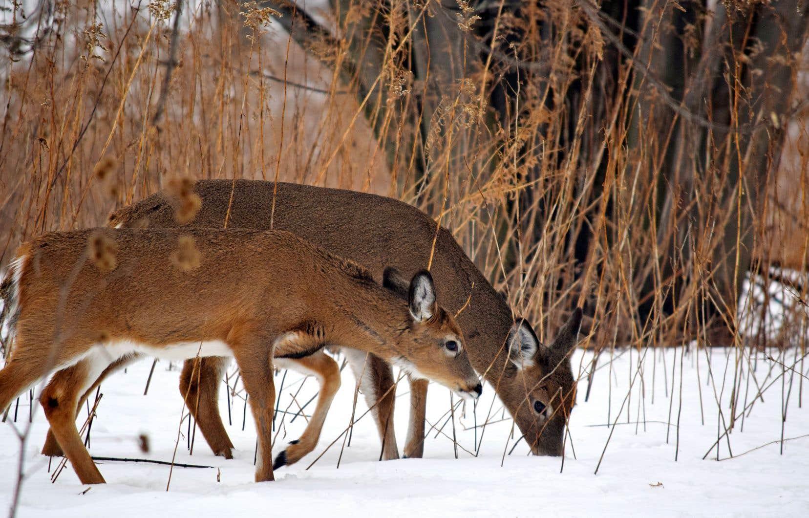 Le parc national des Îles-de-Boucherville abrite une grande biodiversité, dont une quarantaine d'espèces en péril, mais aussi de plus communs cerfs de Virginie, qui sont plus d'une centaine dans l'archipel.
