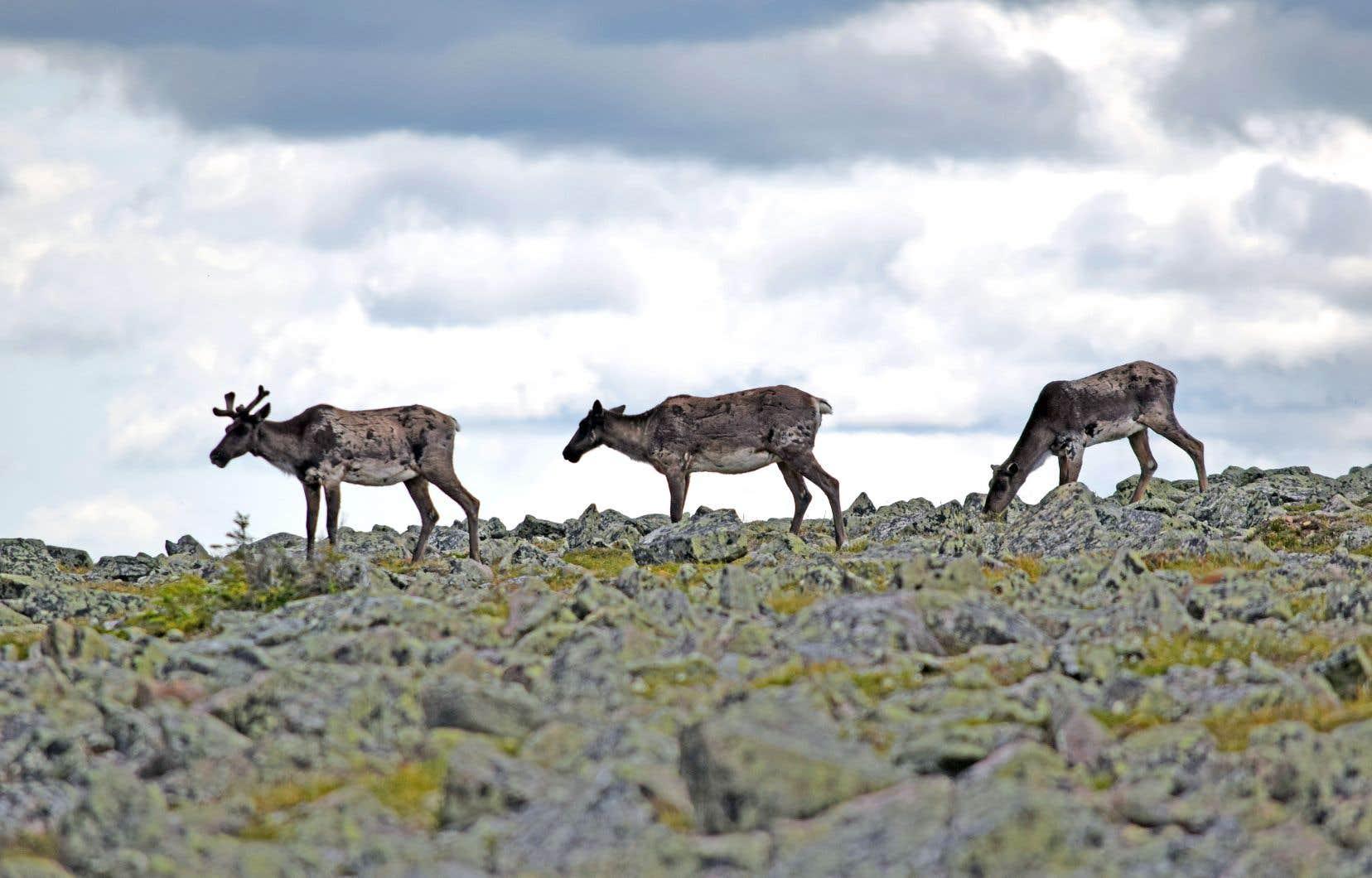 Ces cervidés sont particulièrement affectés par la prédation des coyotes et de l'ours noir, selon ce qui se dégage des travaux menés notamment par le spécialiste Martin-Hugues St-Laurent et son équipe.