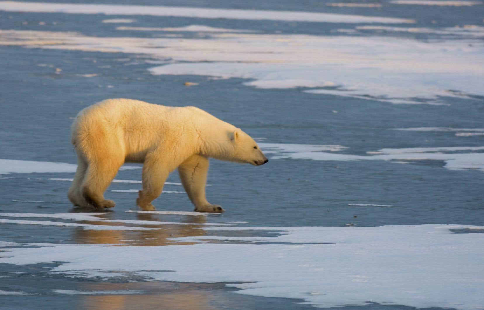 Les changements climatiques ont modifié la structure de la glace marine, essentielle pour les ours polaires mais aussi pour les habitants.