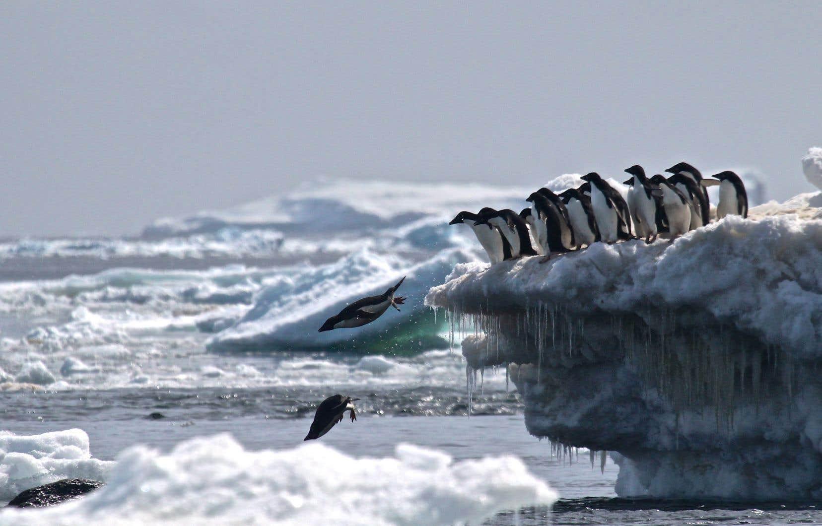 <p>Des manchots Adélie vivants surles Dangers Islands, dans l'est de la péninsule antarctique.</p>