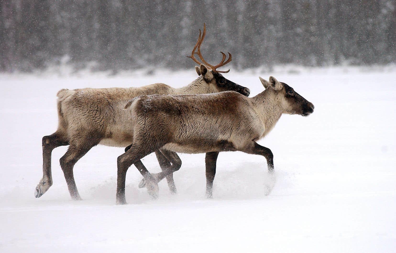 Les quelque 18 caribous restants devraient disparaître d'ici quelques années au plus tard.
