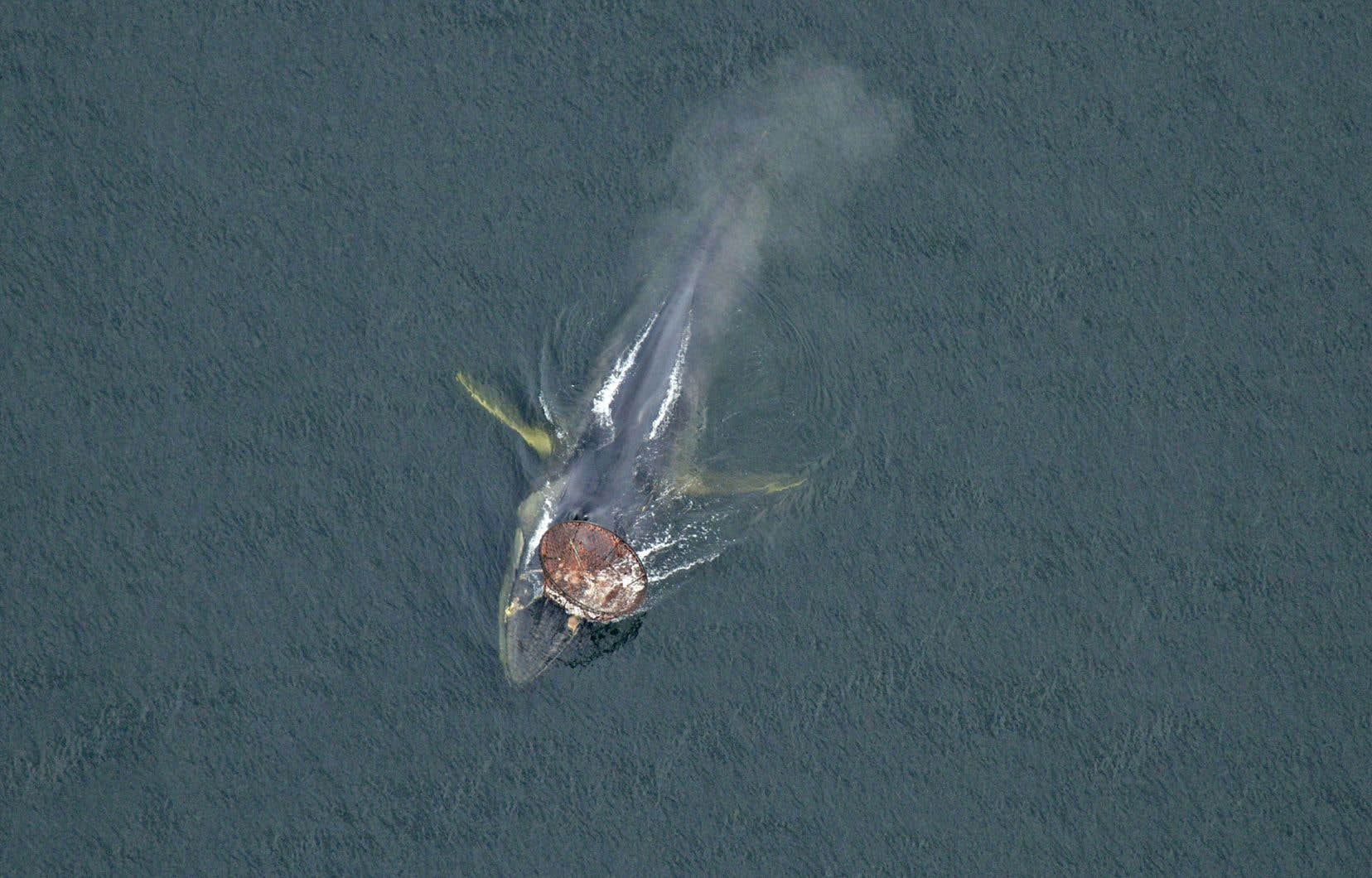 Le rorqual commun Capitaine Crochet s'est retrouvé sévèrement empêtré dans le cordage d'un casier de crabe des neiges en 2013. Malgré les tentatives de sauvetage, l'animal a disparu sans avoir pu être sauvé.