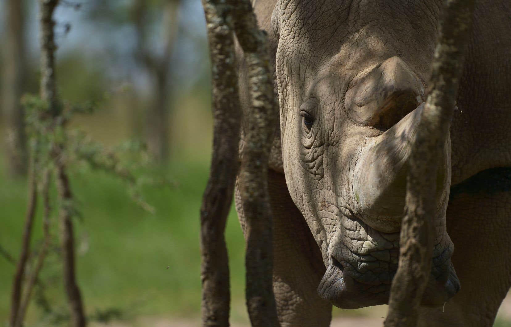 <p>Sudan, reconnaissable à son imposante stature et sa corne arrondie, était un vieillard au regard de l'espérance de vie des rhinocéros.</p>