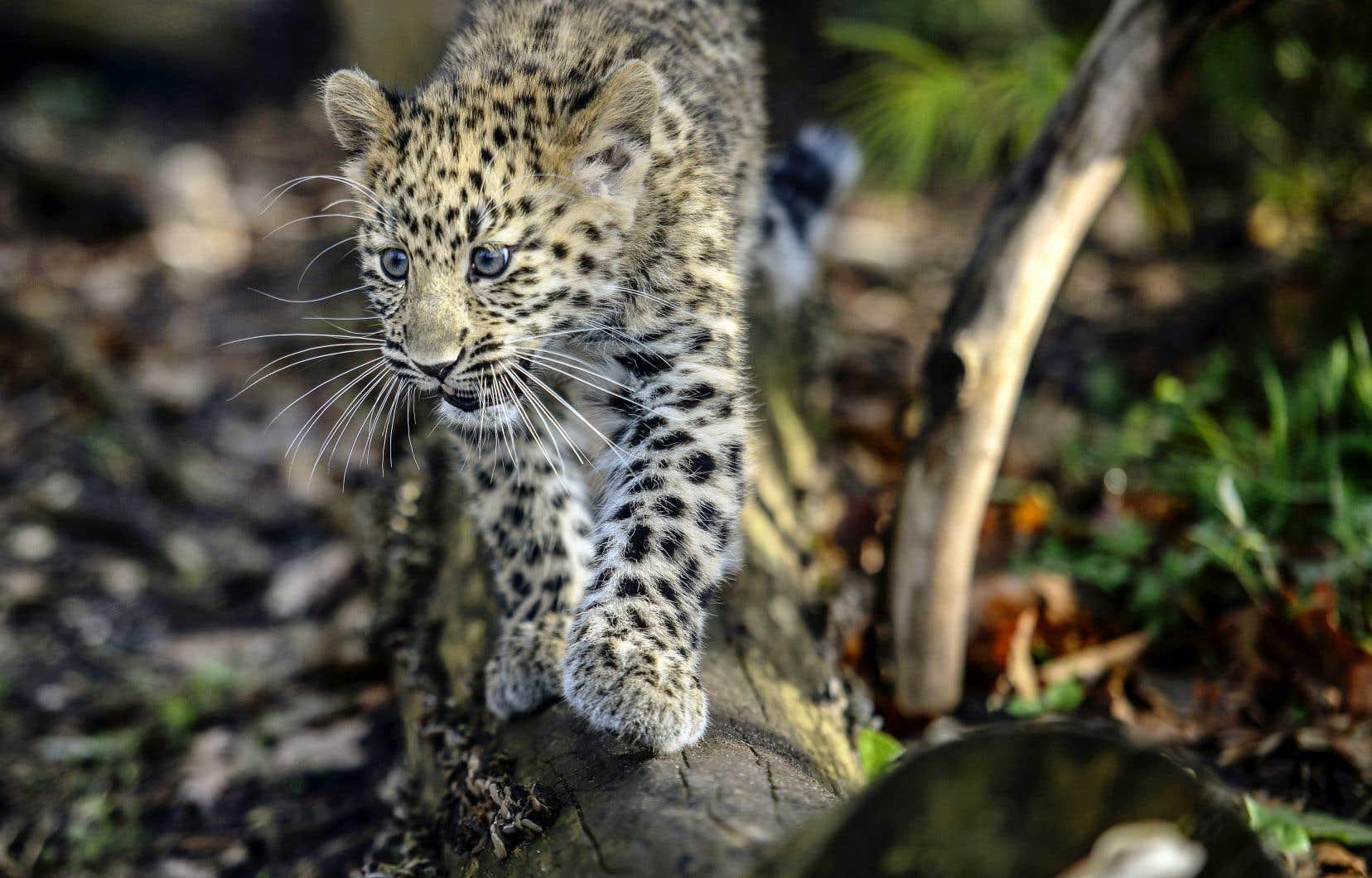 Des milliers d'espèces sont présentement menacées d'extinction. C'est le cas du léopard de l'Amour, une sous-espèce vivant dans le sud-est de la Russie.