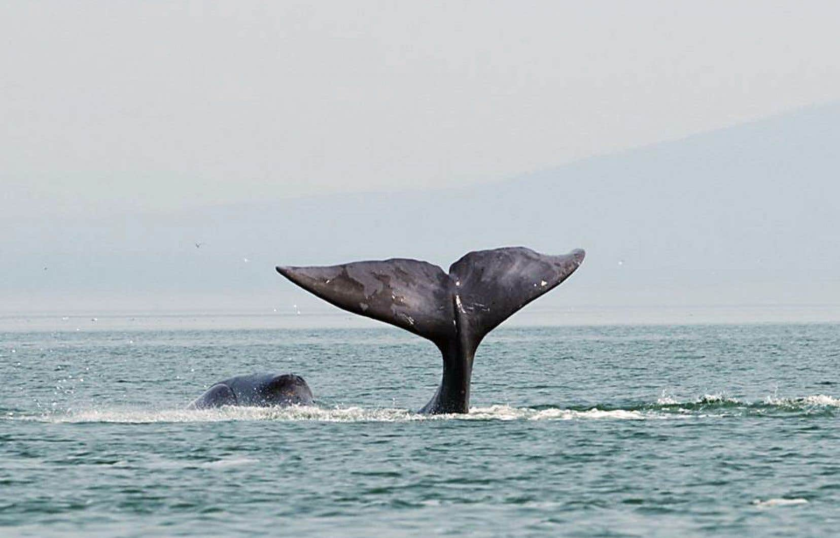 Chassées depuis le XVIe siècle, les baleines boréales sont divisées en quatre populations en fonction de leur zone d'habitation.