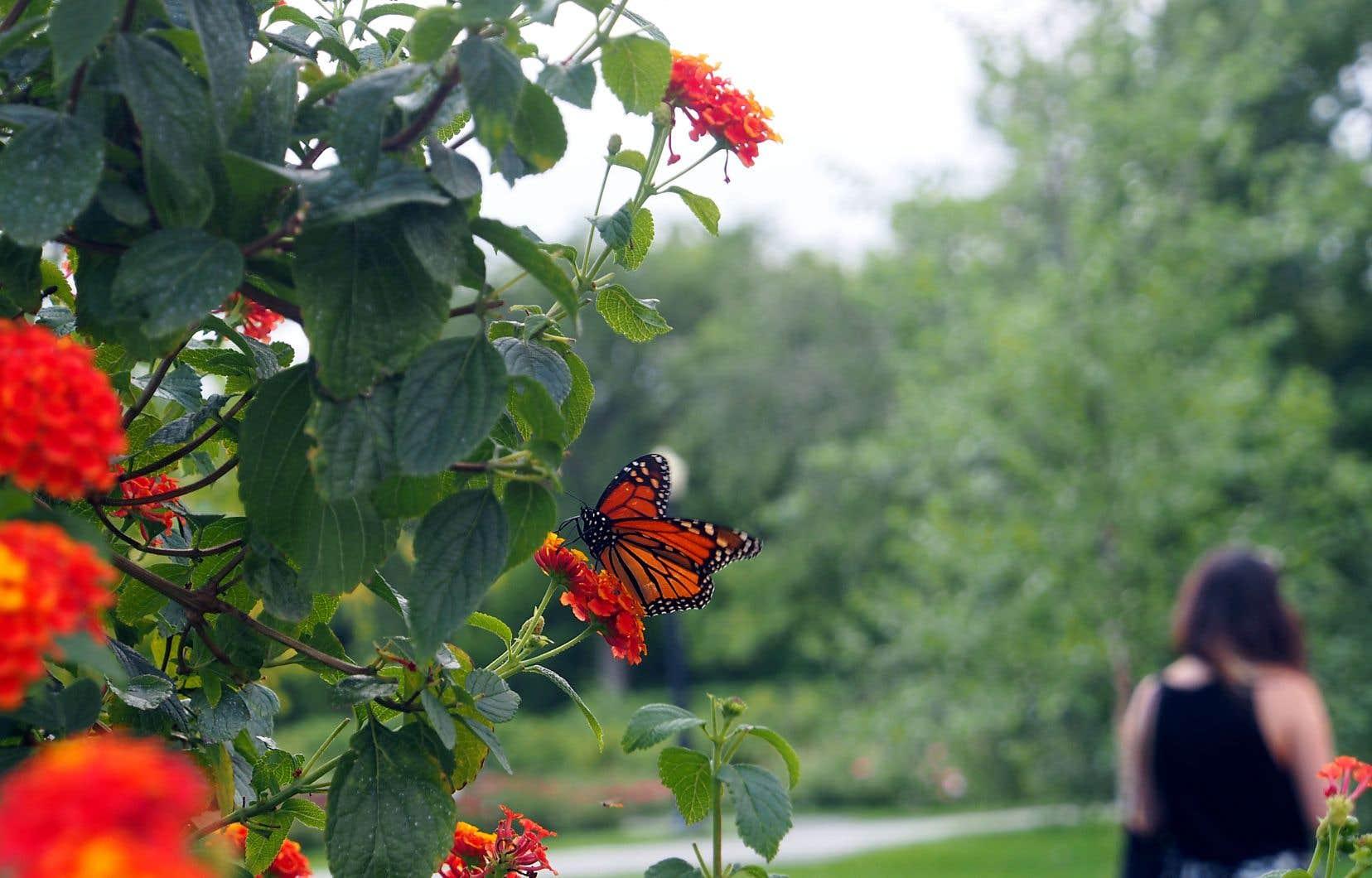 Un monarque sur un lantana, une plante-aimant à papillons