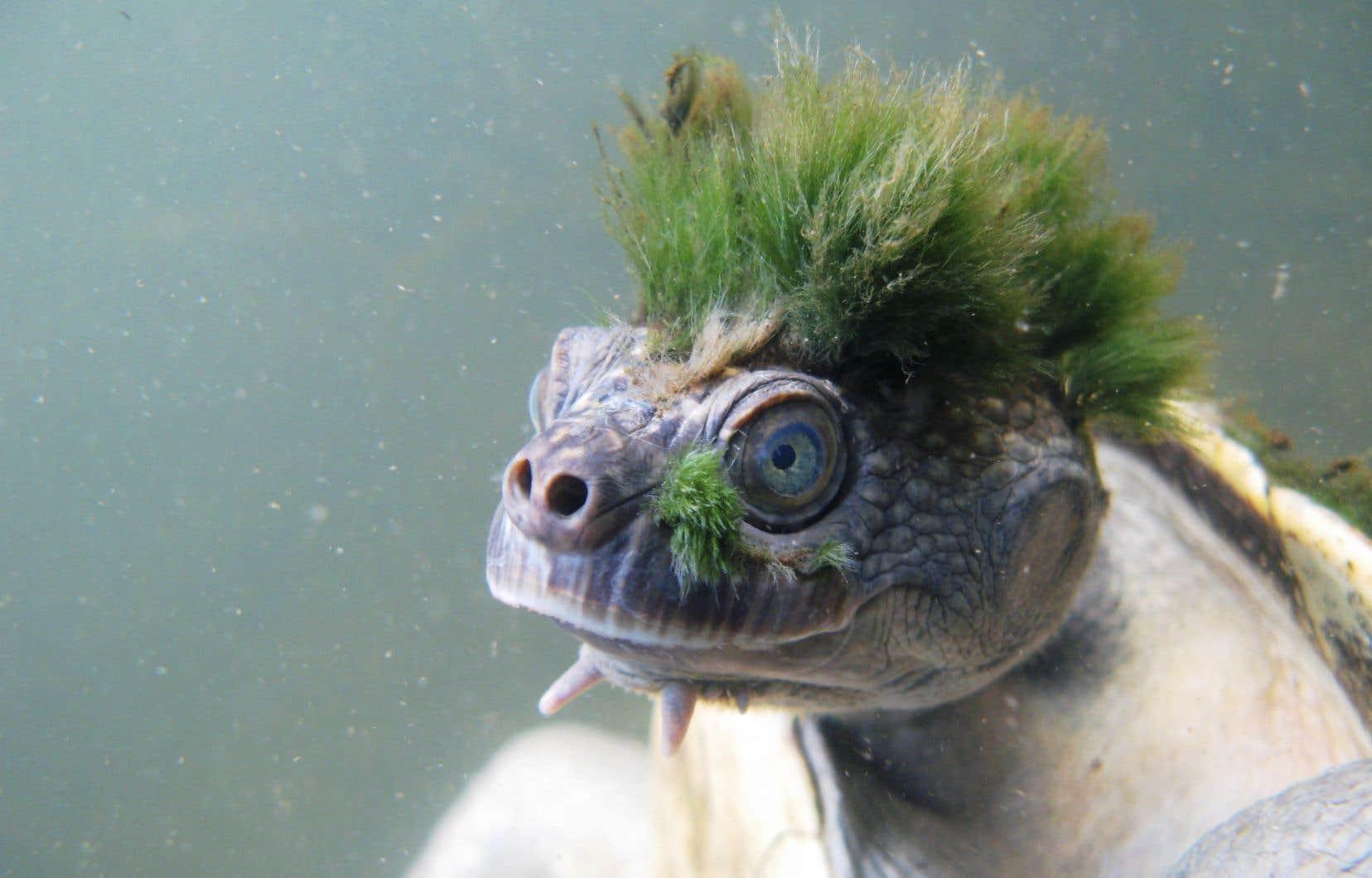 Certains individus de la tortue de la Mary River se retrouvent affublés d'une crête verte fluorescente composée d'algues.