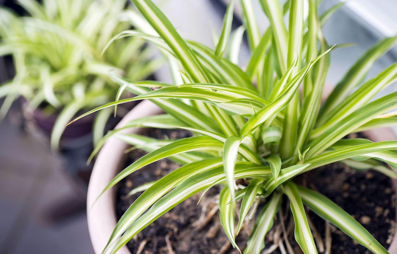 L'une des plantes les plus robustes, d'ailleurs réputée pour sa capacité à survivre aux mauvais soins, est le sansevieria, ou sansevière. La Crassula ovata (ou plante jade) et la plante araignée, ou Chlorophytum comosum, résistent aussi très bien à l'intérieur.