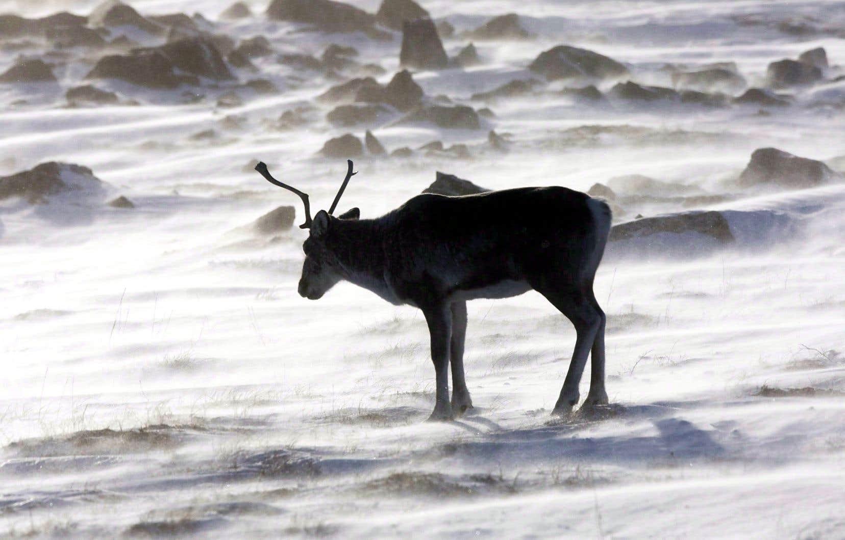 Le caribou forestier a été désigné en 2002 comme espèce menacée par le Comité sur la situation des espèces en péril au Canada.