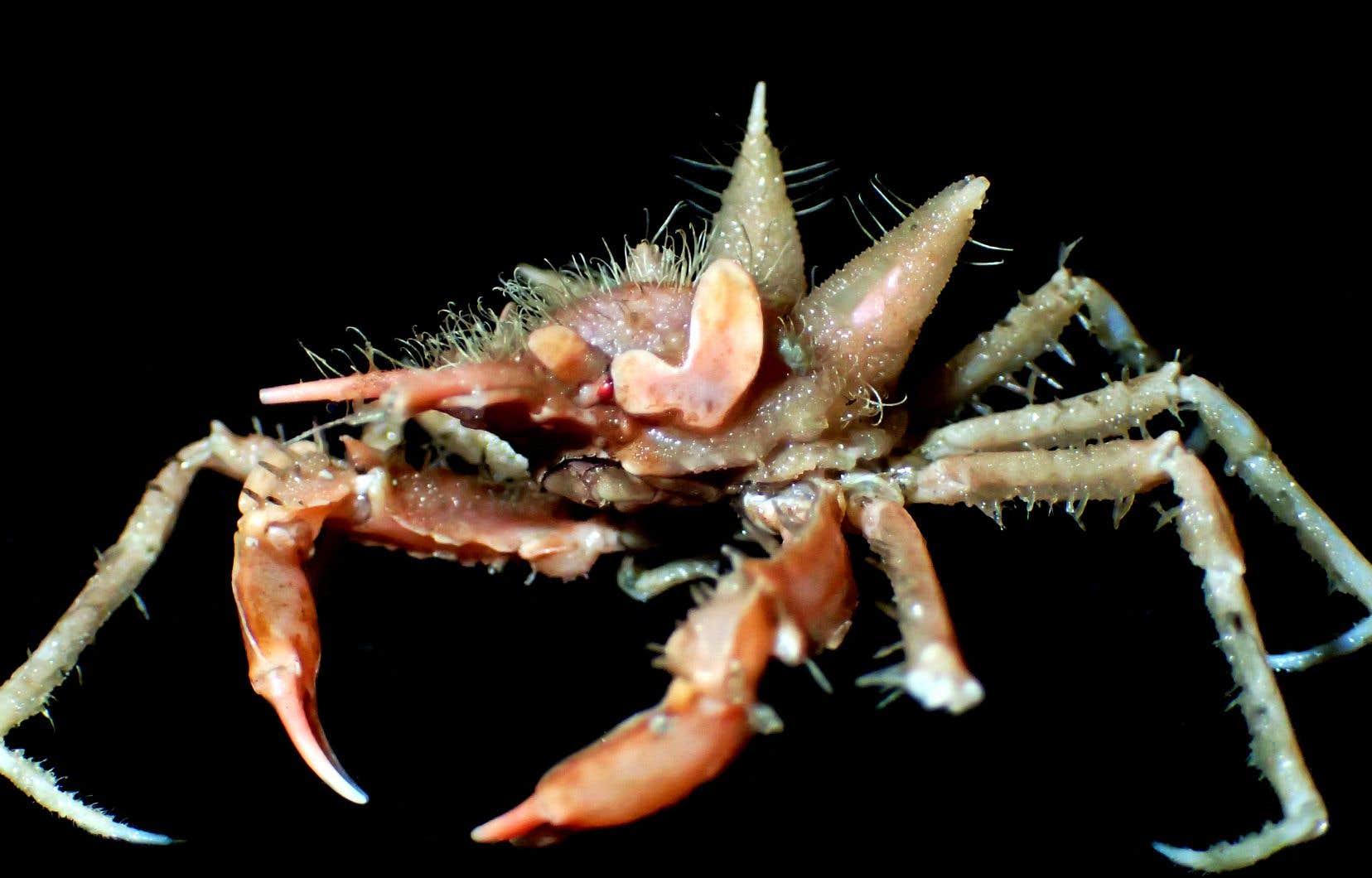 Trois nouvelles espèces d'araignées de mer ont notamment été découvertes.