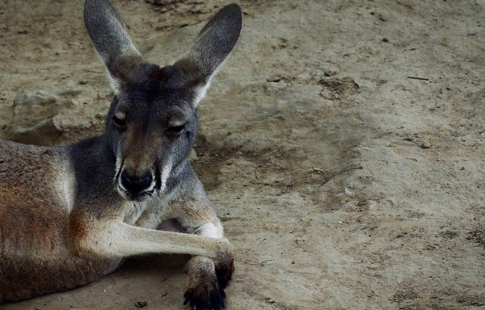 Un kangourou a trouvé la mort dans un zoo du sud-est de la Chine après avoir été la cible de jets de pierres de la part des visiteurs de l'endroit.