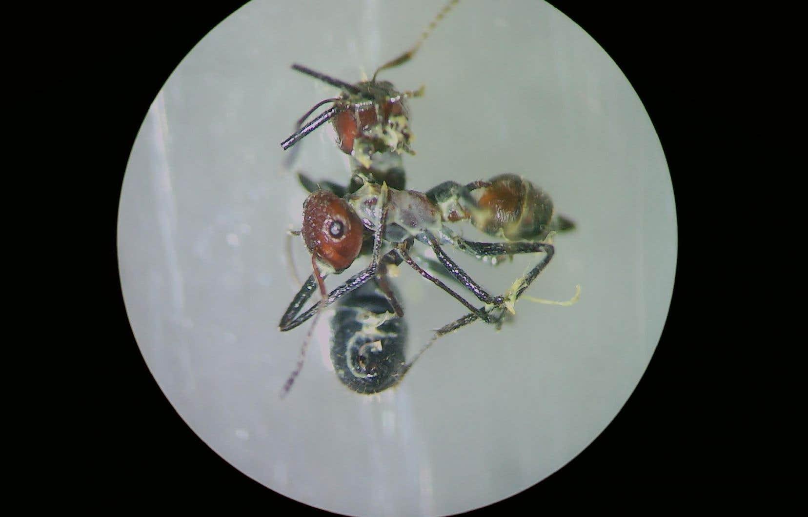 <p>Ces fourmis, baptisées<em> Colobopsis explodens</em>, ont été débusquées dans le petit État du Brunei, situé dans le nord de l'île de Bornéo et réputé pour sa biodiversité.</p>