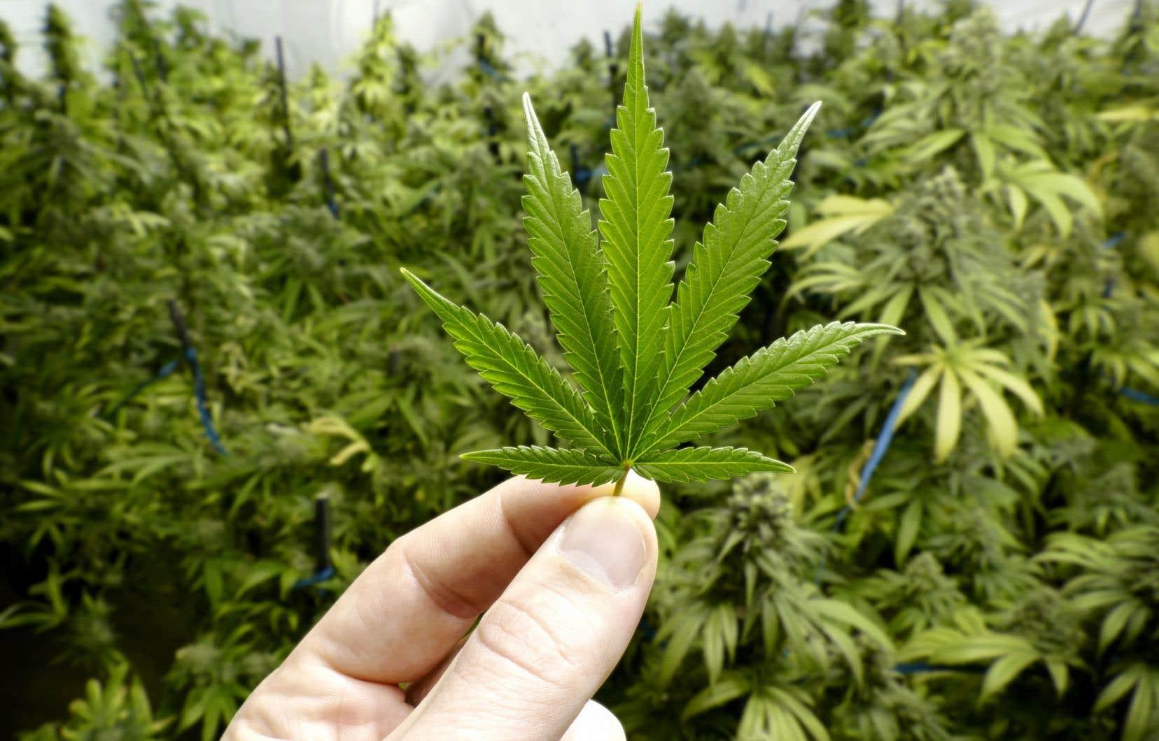 Alors que le projet de loi fédéral permettrait de faire pousser jusqu'à quatre plants par foyer, le projet de loi québécois l'interdirait.