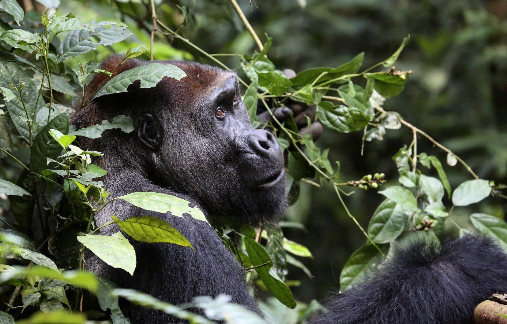 <p>Cela ne change pas le fait que les gorilles et les chimpanzés restent une espèce menacée.</p>