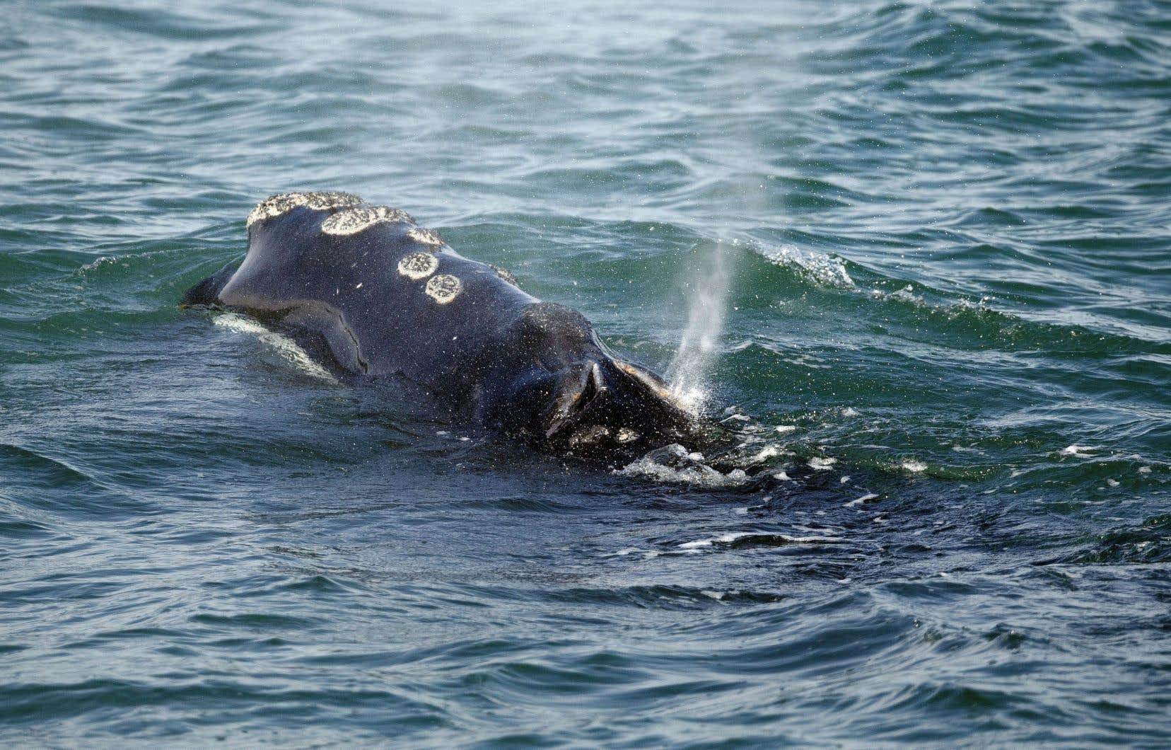 Il ne resterait plus que 450 baleines noires de l'Atlantique Nord. L'an dernier, 18 sont mortes, dont 12 dans les eaux canadiennes.
