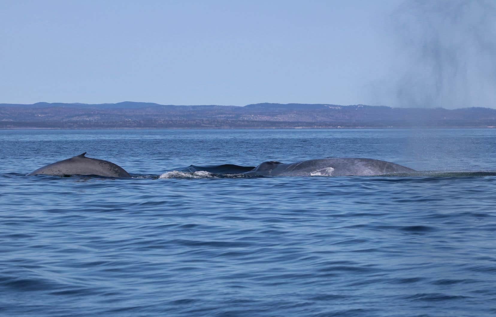 La femelle baleine bleue est connue depuis 1994, mais c'est la première fois qu'elle est aperçue avec un baleineau.
