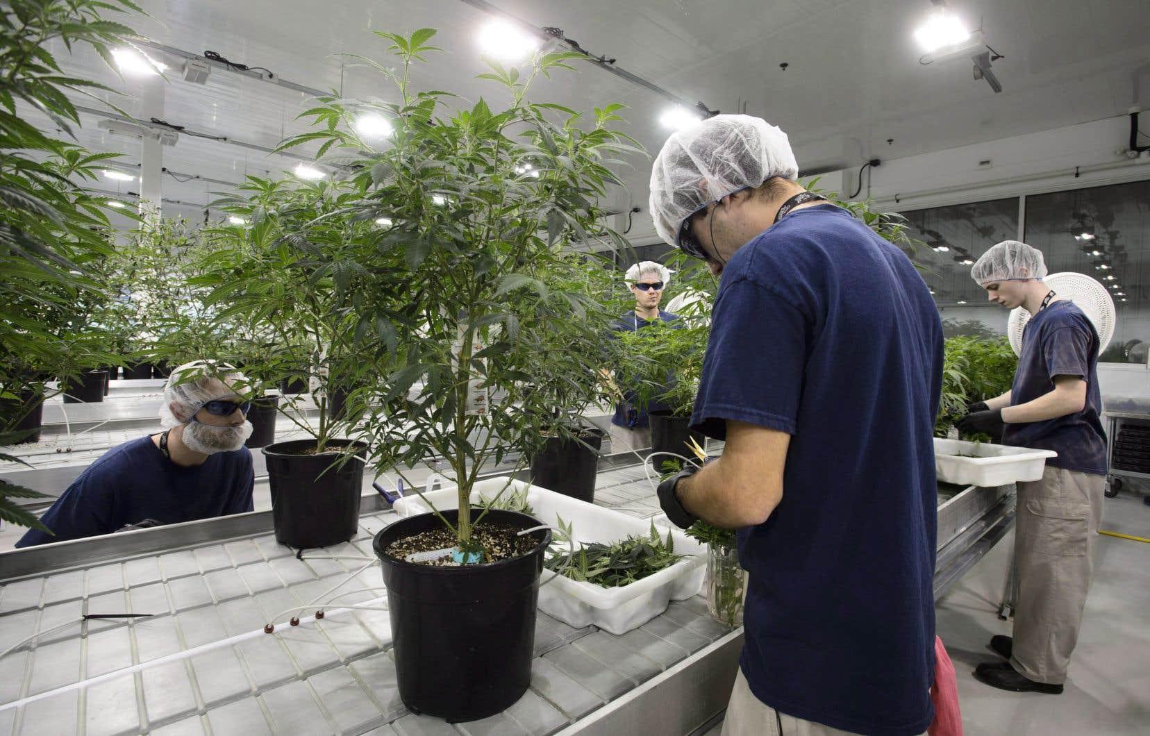 Les installations de 700 000 pieds carrés devraient permettre à Canopy Growth de produire 60 000 kilogrammes de cannabis par an.