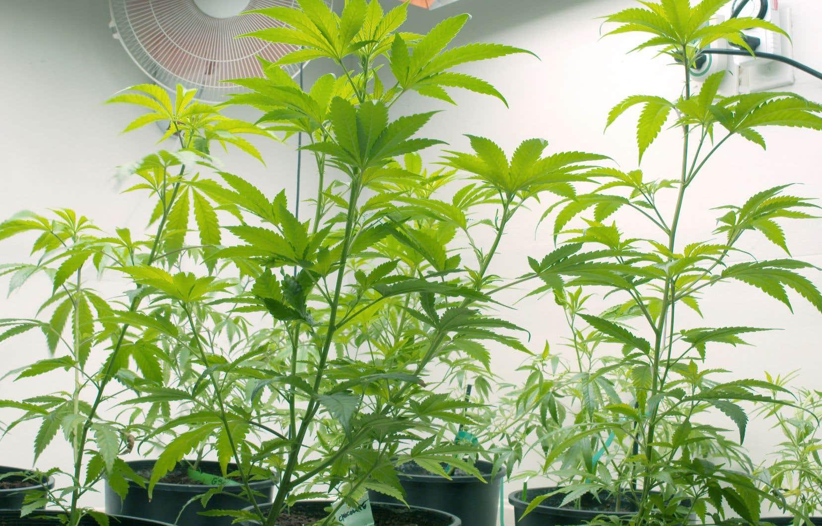 Au Québec, un locataire peut continuer de fumer illégalement de la marijuana pendant des mois avant que le propriétaire obtienne une audience à la Régie du logement, déplore l'auteur du texte.