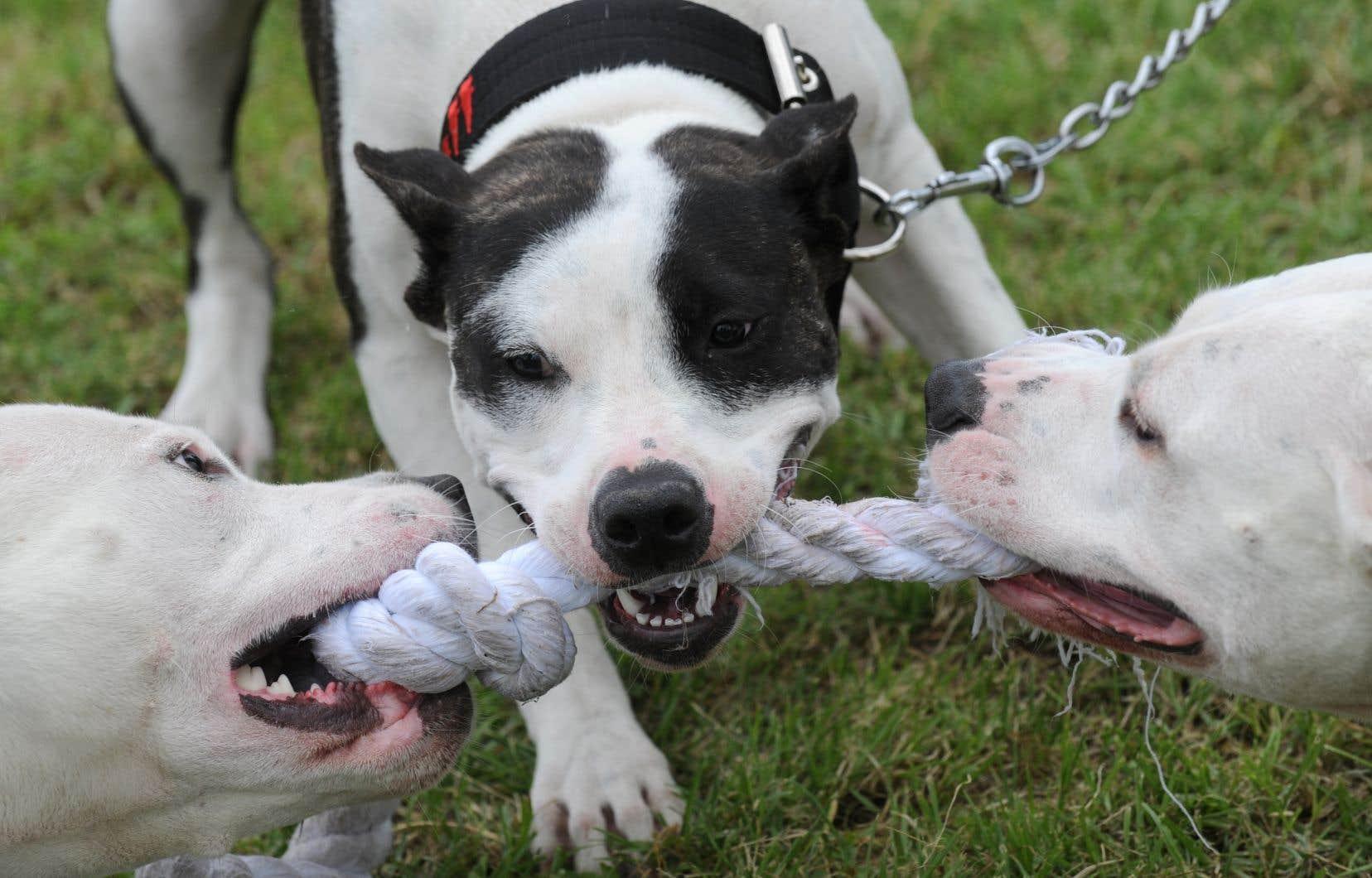 Puisque la majorité des chiens ne sont pas de race pure, un propriétaire pourrait prétendre que son chien à l'apparence de pitbull n'en est pas un, estime l'auteur.
