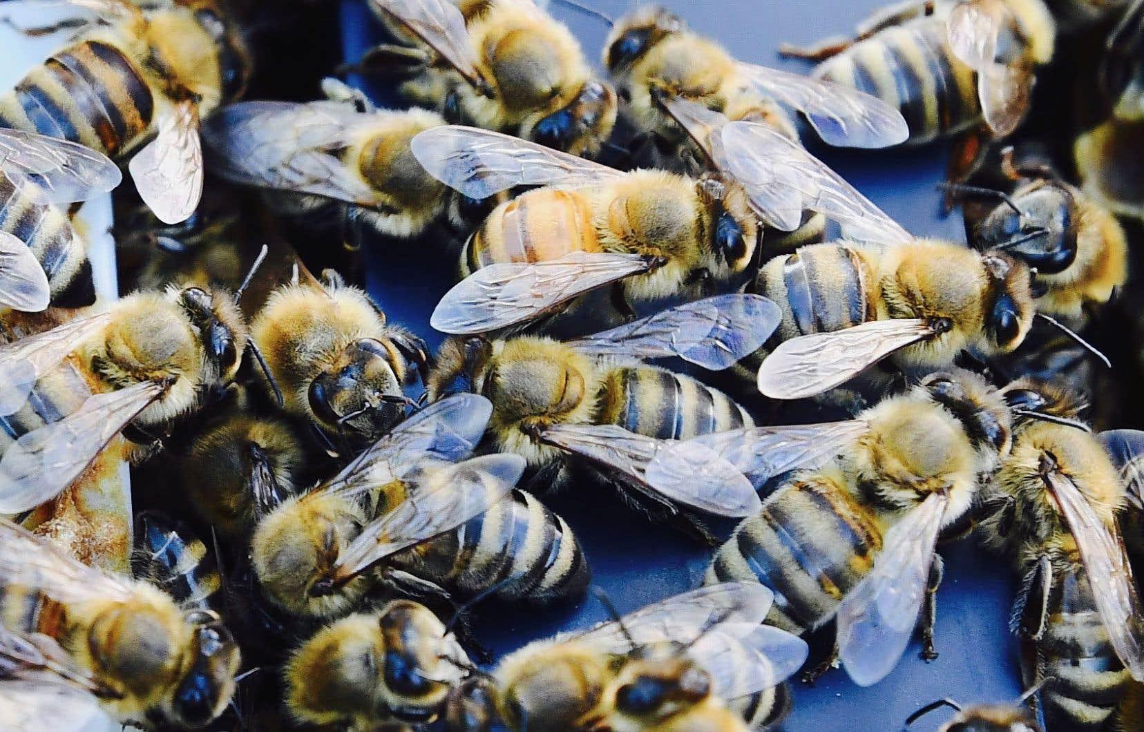 La reine est la seule femelle féconde de la colonie. Au printemps, elle peut pondre jusqu'à 2000 oeufs par jour.