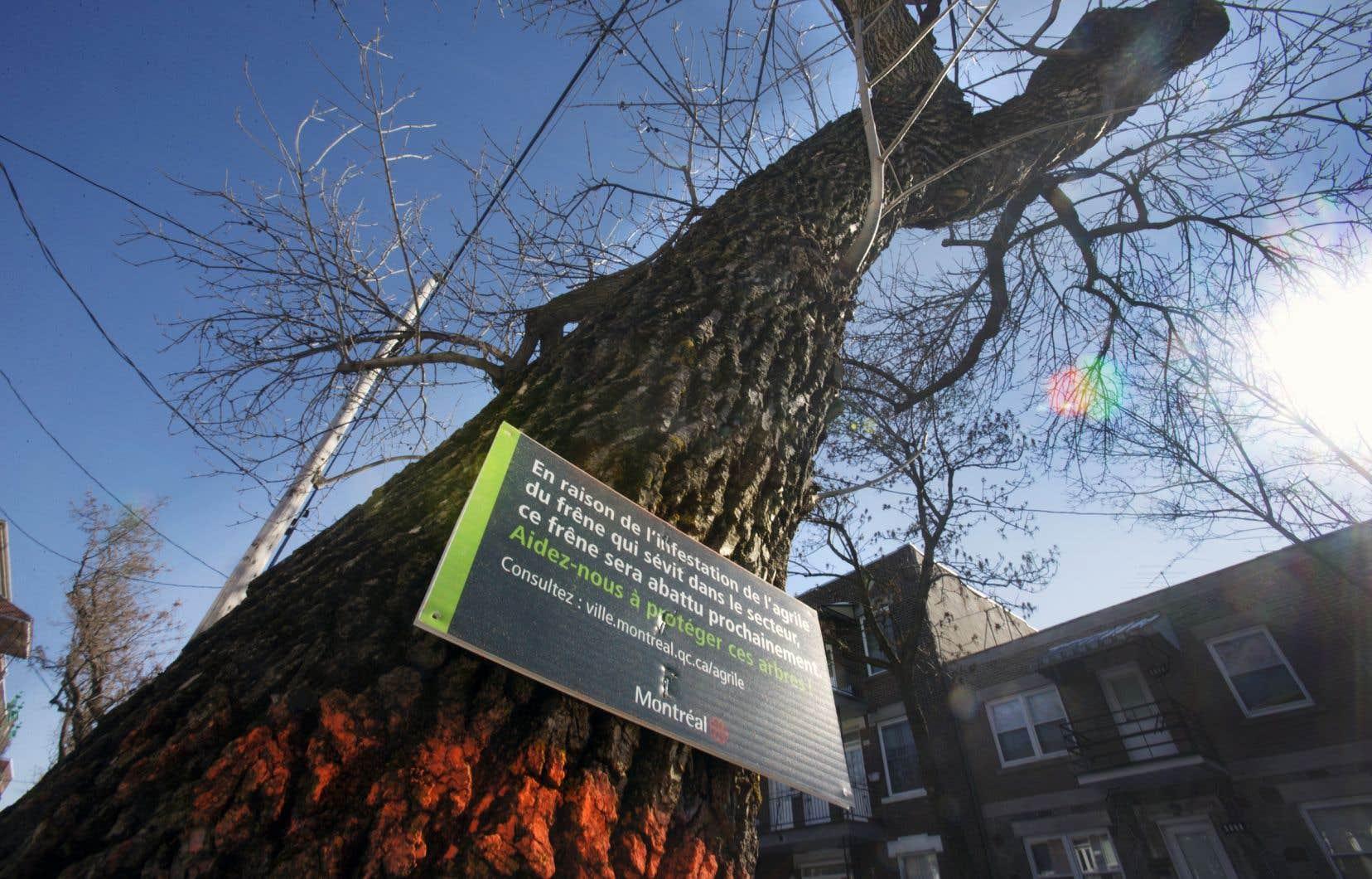 La Ville de Montréal a traité près de 95000 arbres sur les terrains publics au cours des dernières années. Elle a néanmoins dû procéder à l'abattage de plus de 15000 arbres depuis 2011. L'an dernier, la Ville a annoncé l'abattage de 4000 frênes sur le mont Royal.