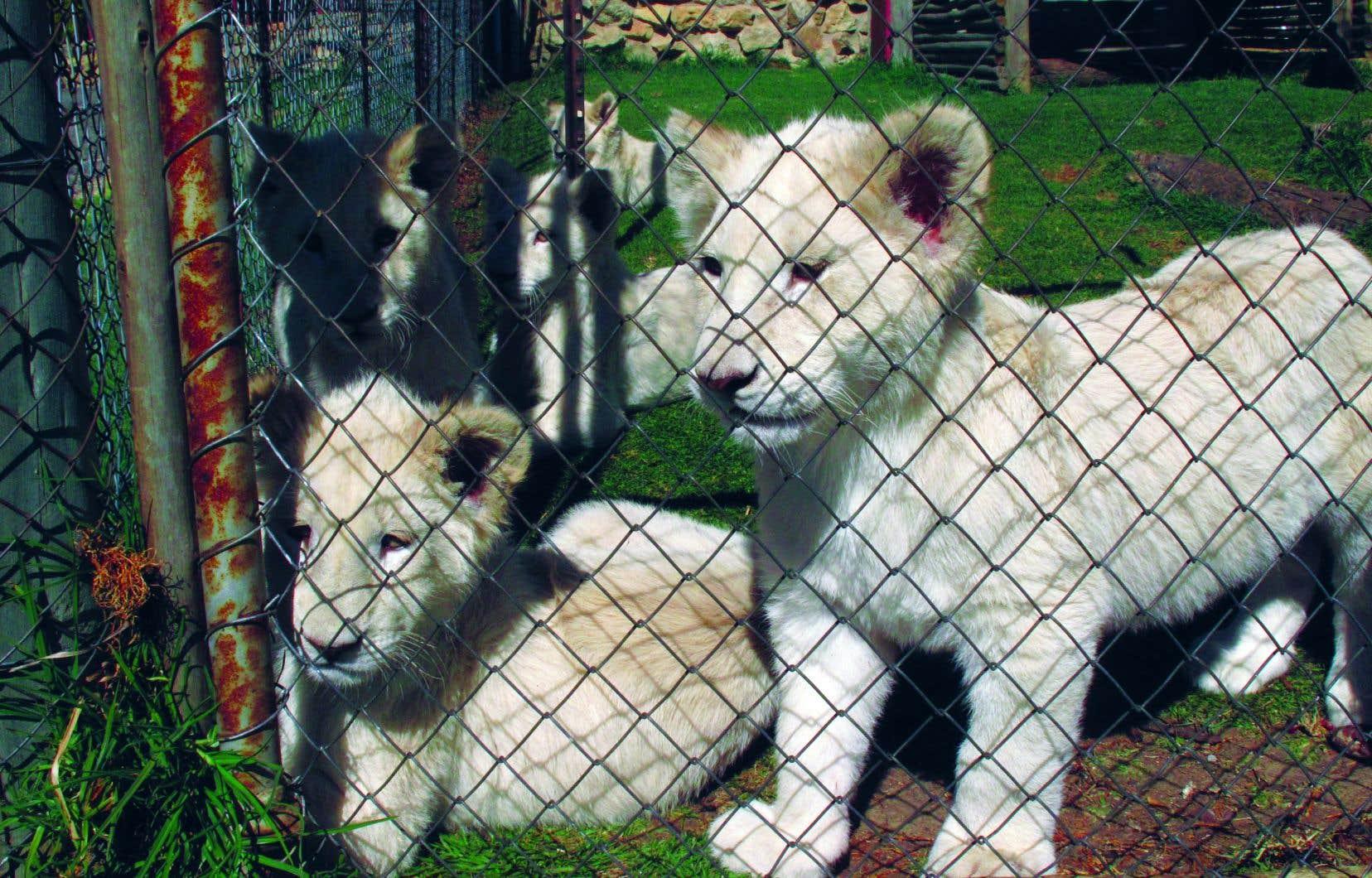 On suit tout au long du documentaire un chasseur américain qui se prépare à venir capturer «son» lion et qui change d'avis une fois sur place.