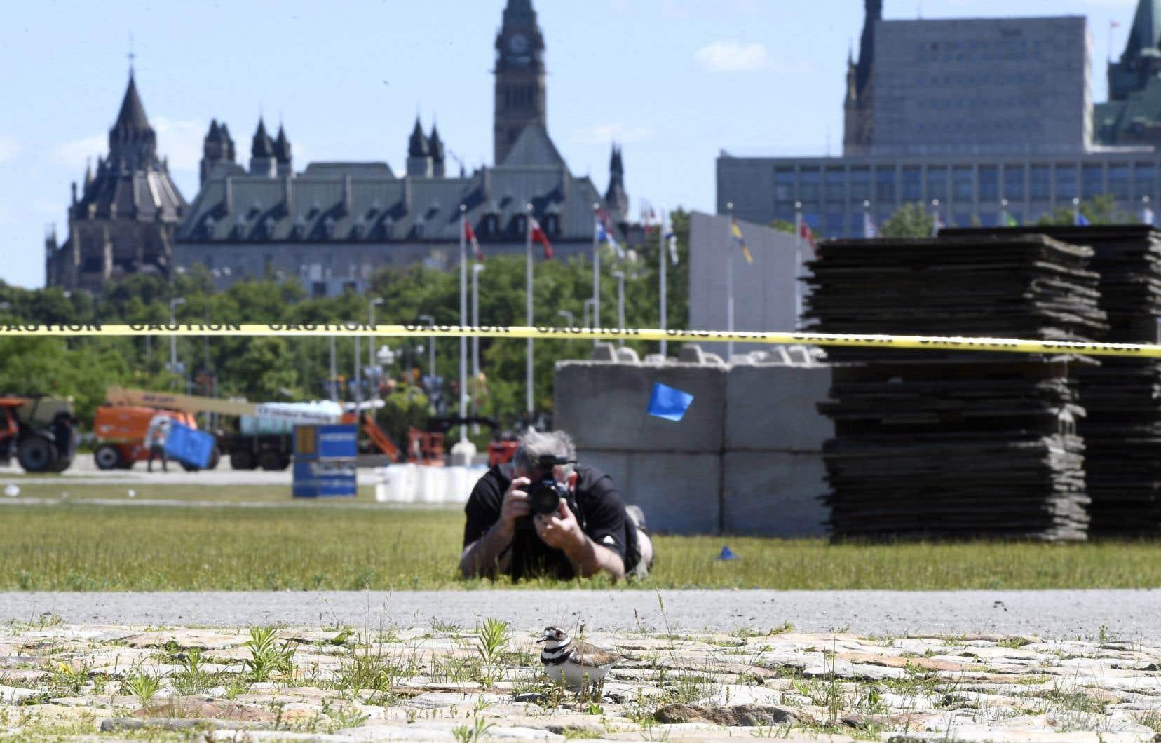 Quatre oeufs de pluvier kildir ont été retrouvés à l'endroit où devrait se dresser la scène principale du Bluesfest d'Ottawa.