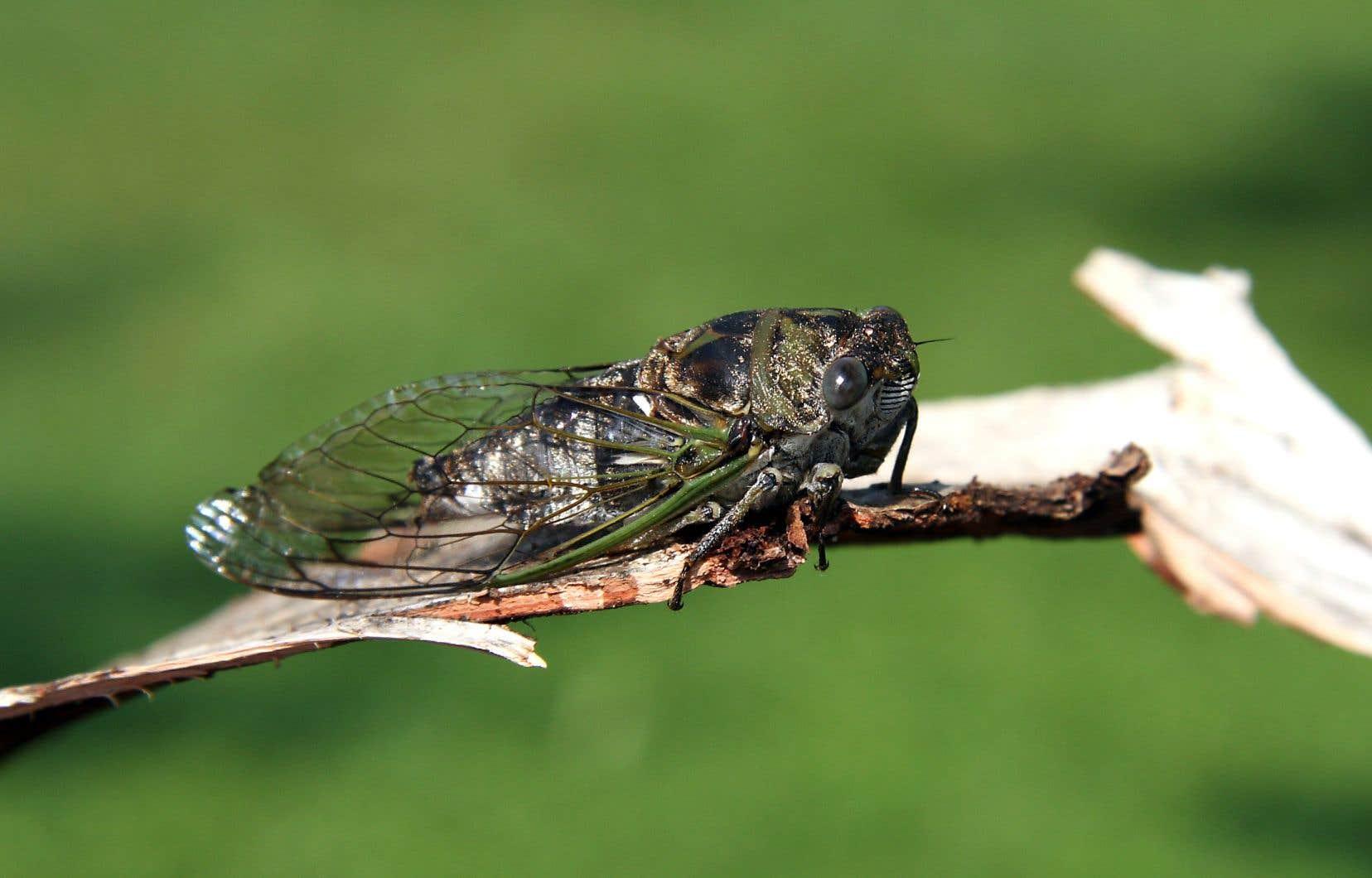 La cigale caniculaire verdâtre de vingt et quelques millimètres paraît quatre ou cinq fois plus grosse qu'une mouche, avec une tête ronde et aplatie, une paire de gros yeux et trois ocelles, deux courtes antennes, six pattes et deux paires d'ailes transparentes et membraneuses.