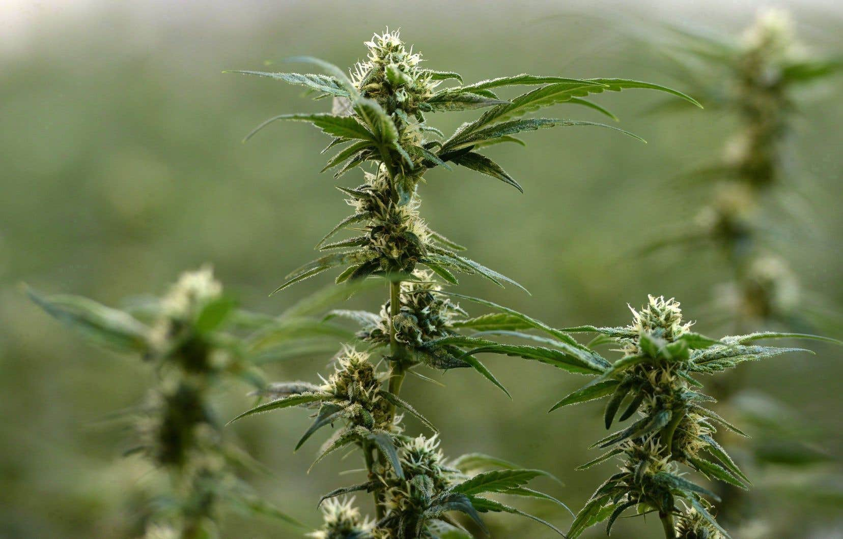 Au cours des derniers mois, d'importantes sociétés américaines du secteur du cannabis comme MedMen, Liberty Health Care et Chalice Farms se sont inscrites à la Bourse des valeurs canadiennes.