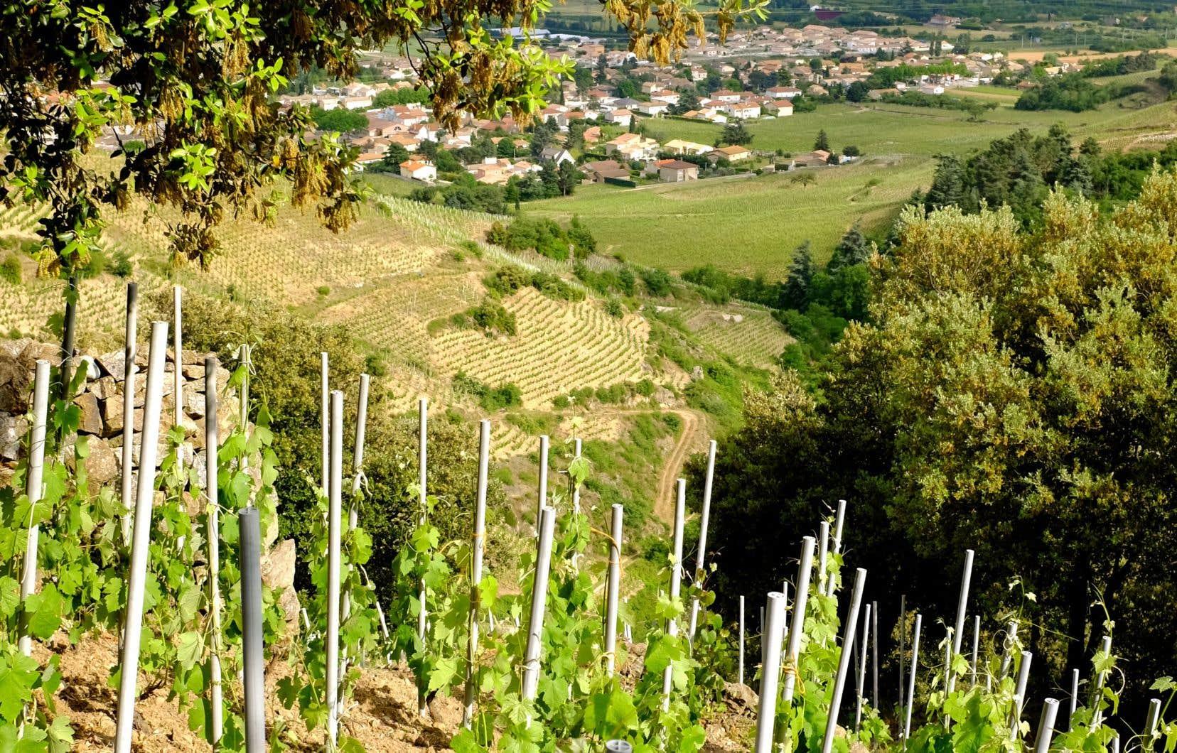 Parcelles de syrahs sur sous-sol argilo-calcaire et de granite décomposé chez Thierry Allemand à Cornas, dans le Rhône septentrional