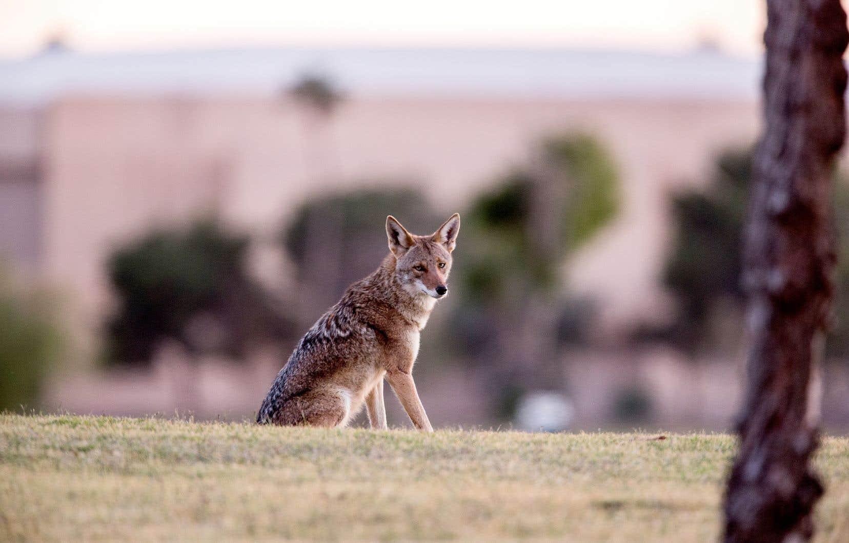 La Ville de Montréal recommande aux citoyens de ne pas approcher les coyotes, de ne pas les nourrir et de bien tenir leurs chiens en laisse.