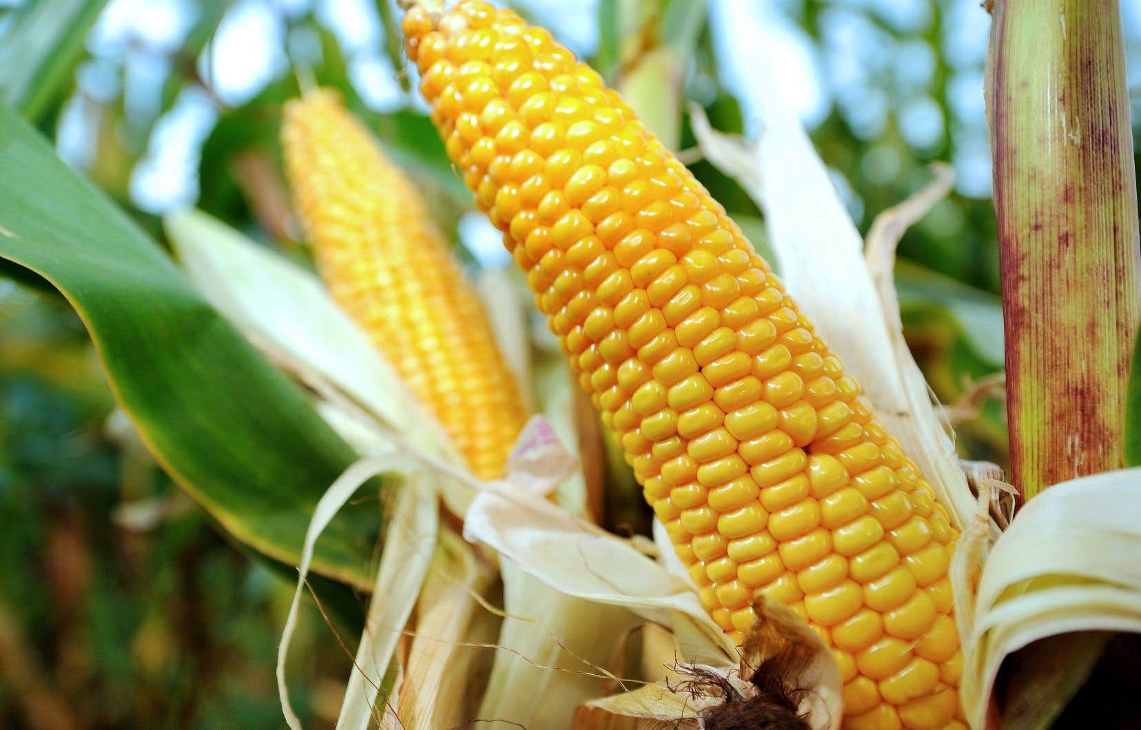 Le soutien de base pour le maïs et le soya, entre 2016 et 2018, aura été d'environ 47 $ par hectare au Québec, mais de 80 $ par hectare aux États-Unis, selon les prévisions actuelles.