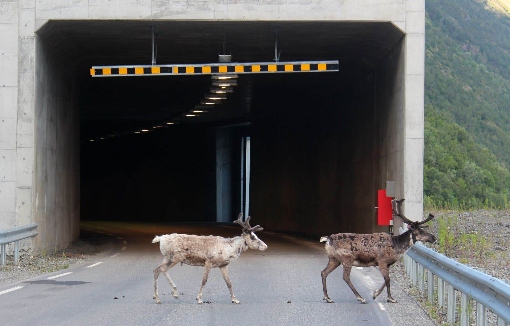 Les autorités norvégiennes ont appelé les automobilistes à redoubler de vigilance face aux rennes.