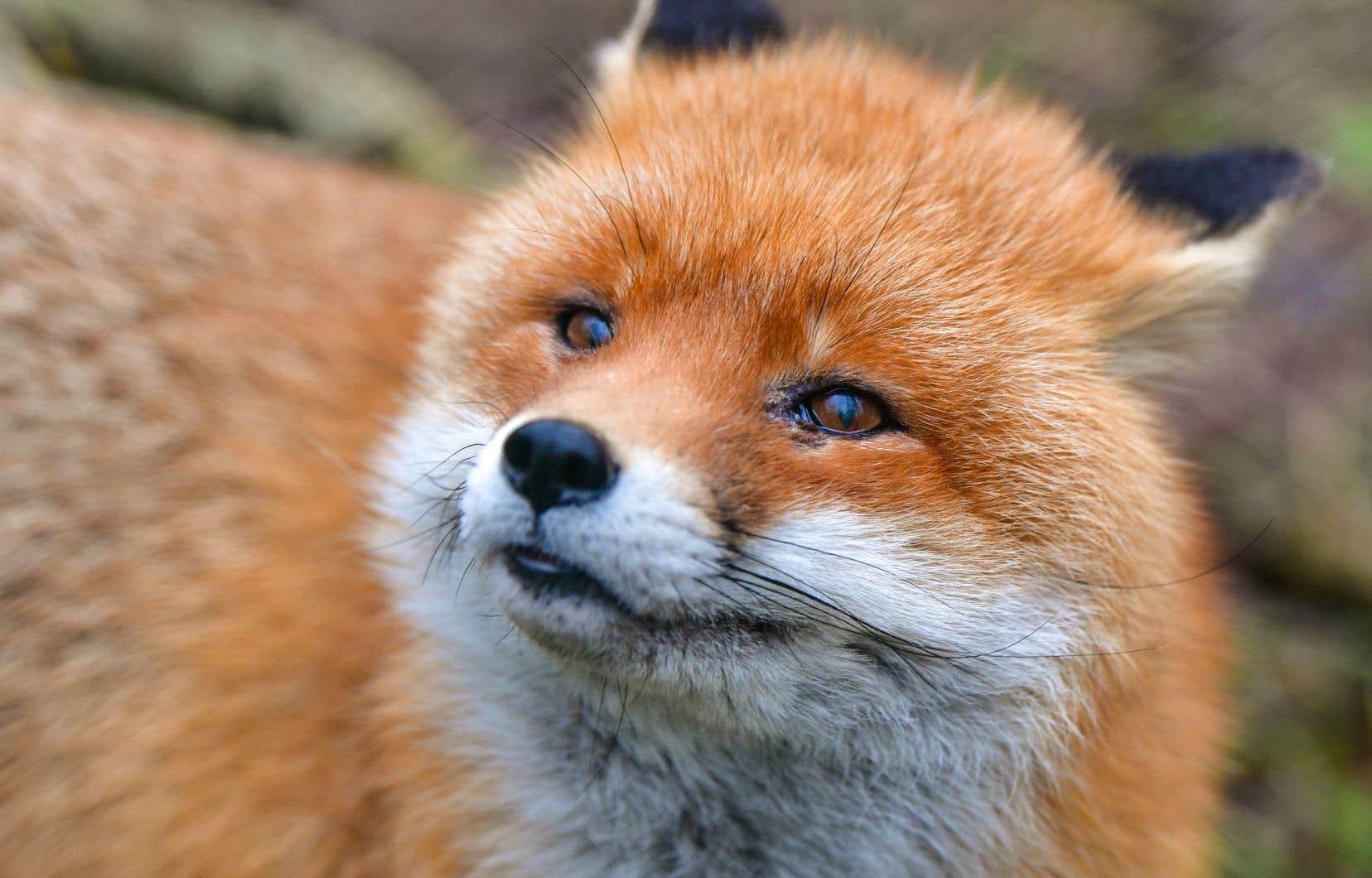 Une expérience débutée il y a 60 ans sur des renards roux a permis de découvrir des gènes impliqués dans l'agressivité et la domestication.