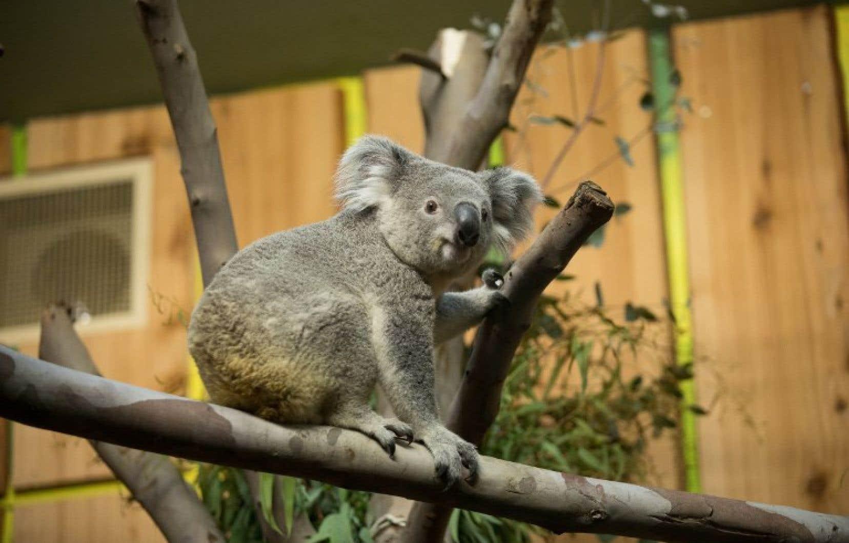 Tanami, un adorable marsupial de 19 mois, a quitté le zoo de Duisbourg en Allemagne et parcouru plus de 1100 kilomètres pour rejoindre le zoo d'Édimbourg.