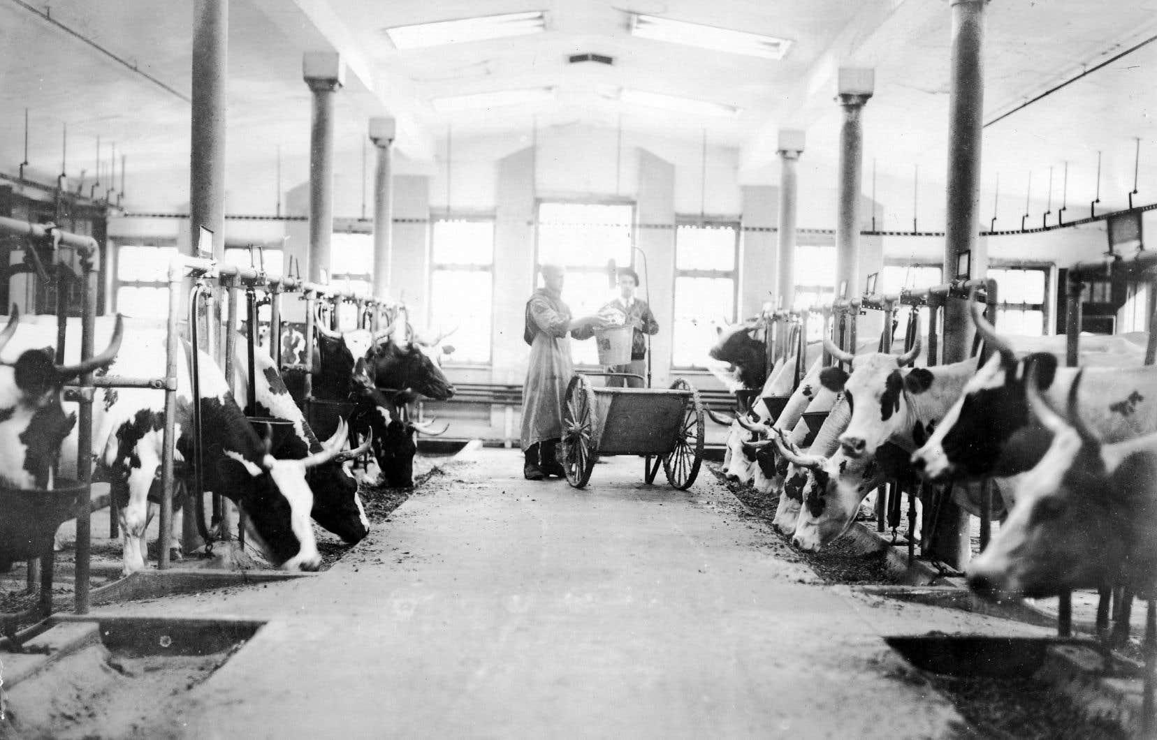 L'étable des moines avec les vaches qui fournissaient le lait nécessaire à la fabrication du célèbre fromage