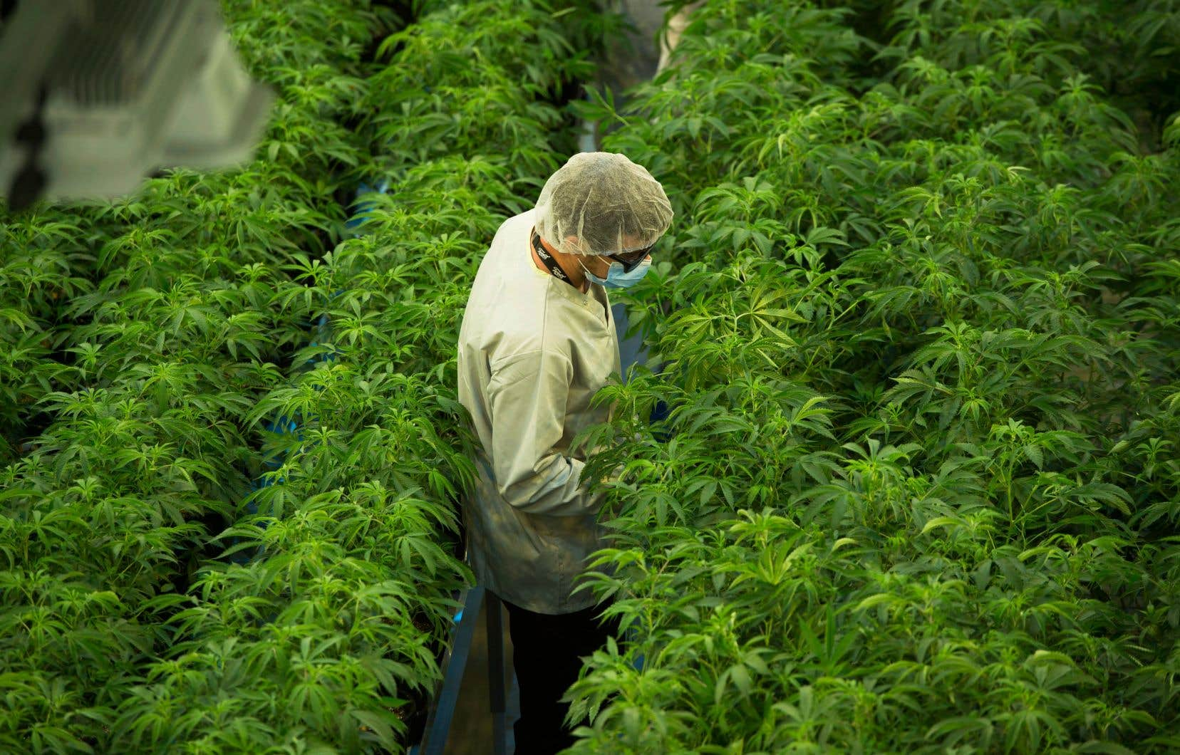 Canopy Growth, un producteur basé en Ontario, regroupe plusieurs entreprises dans le domaine du cannabis et a participé au financement du Registre cannabis Québec. L'entreprise est désormais le plus gros producteur de cannabis au monde.