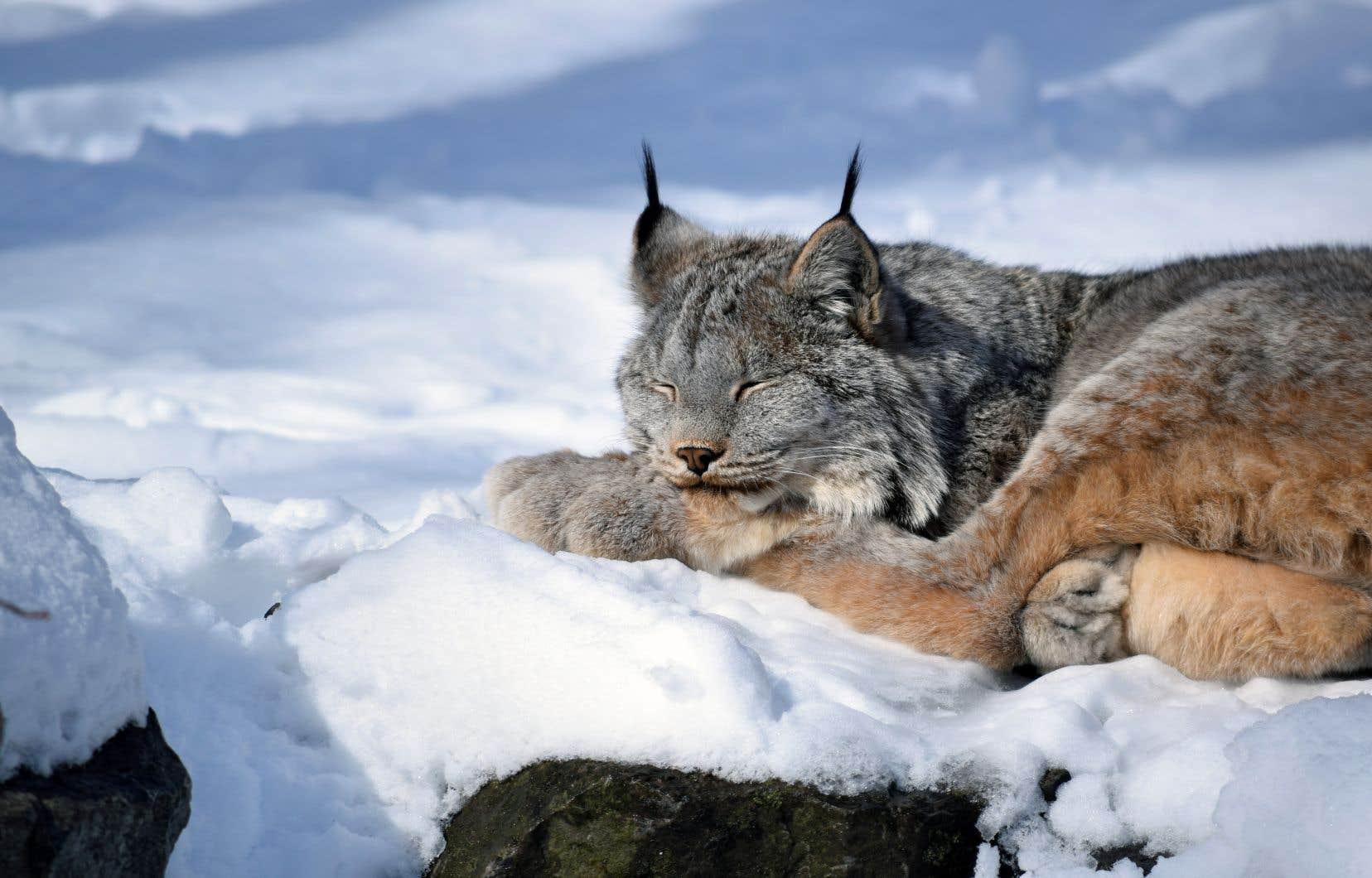 Selon les données du gouvernement du Québec, environ 2500 lynx du Canada sont piégés chaque année.