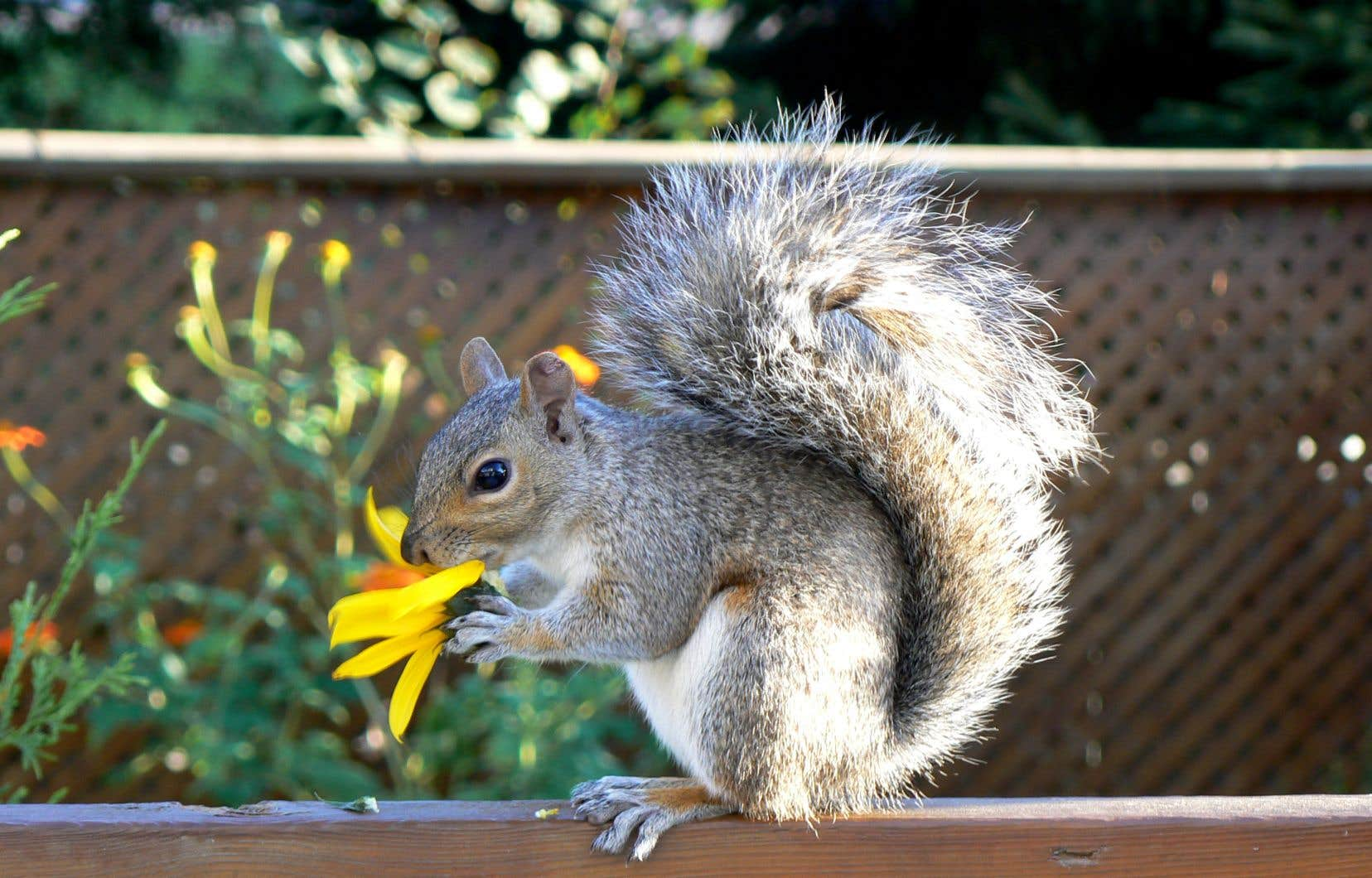 Si vous vivez en ville, la cohabitation avec les écureuils est incontournable. Ils sont si nombreux que, même si vous les mettez en cage et les déplacez, ils seront vite remplacés par d'autres.