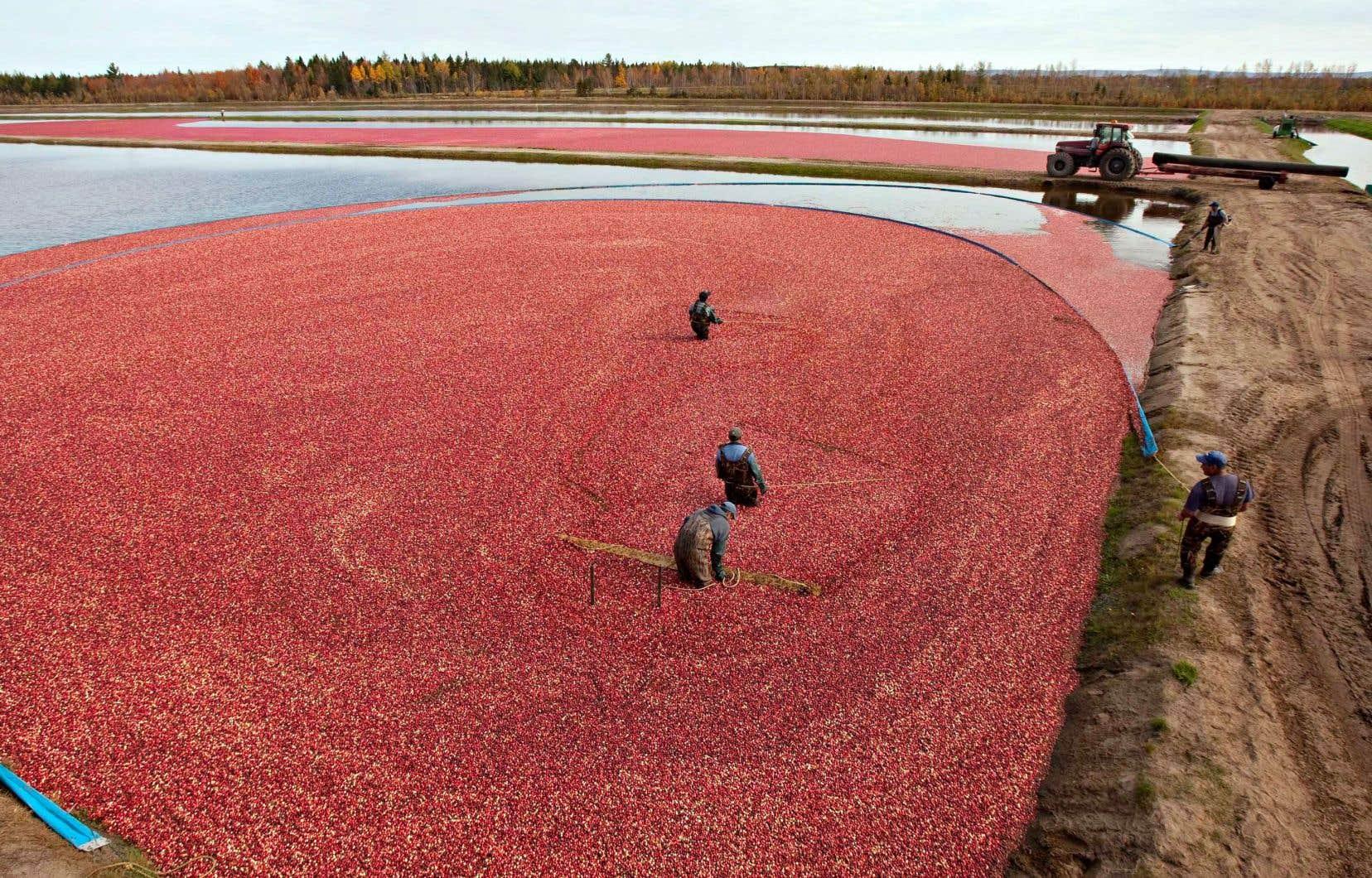 L'industrie québécoise de la canneberge dit générer des retombées économiques de 121 millions par an.