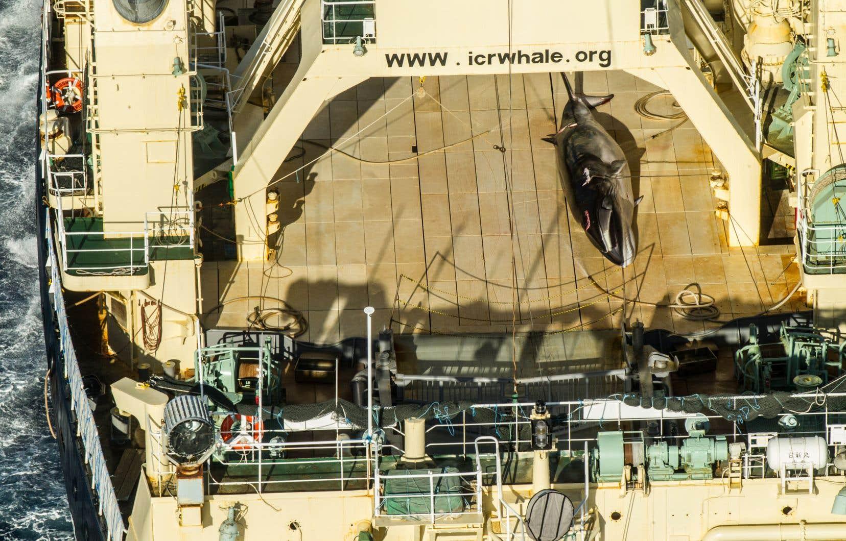 Un moratoire international a été mis en place en 1986, pour tenter de sauver des espèces décimées par la chasse.