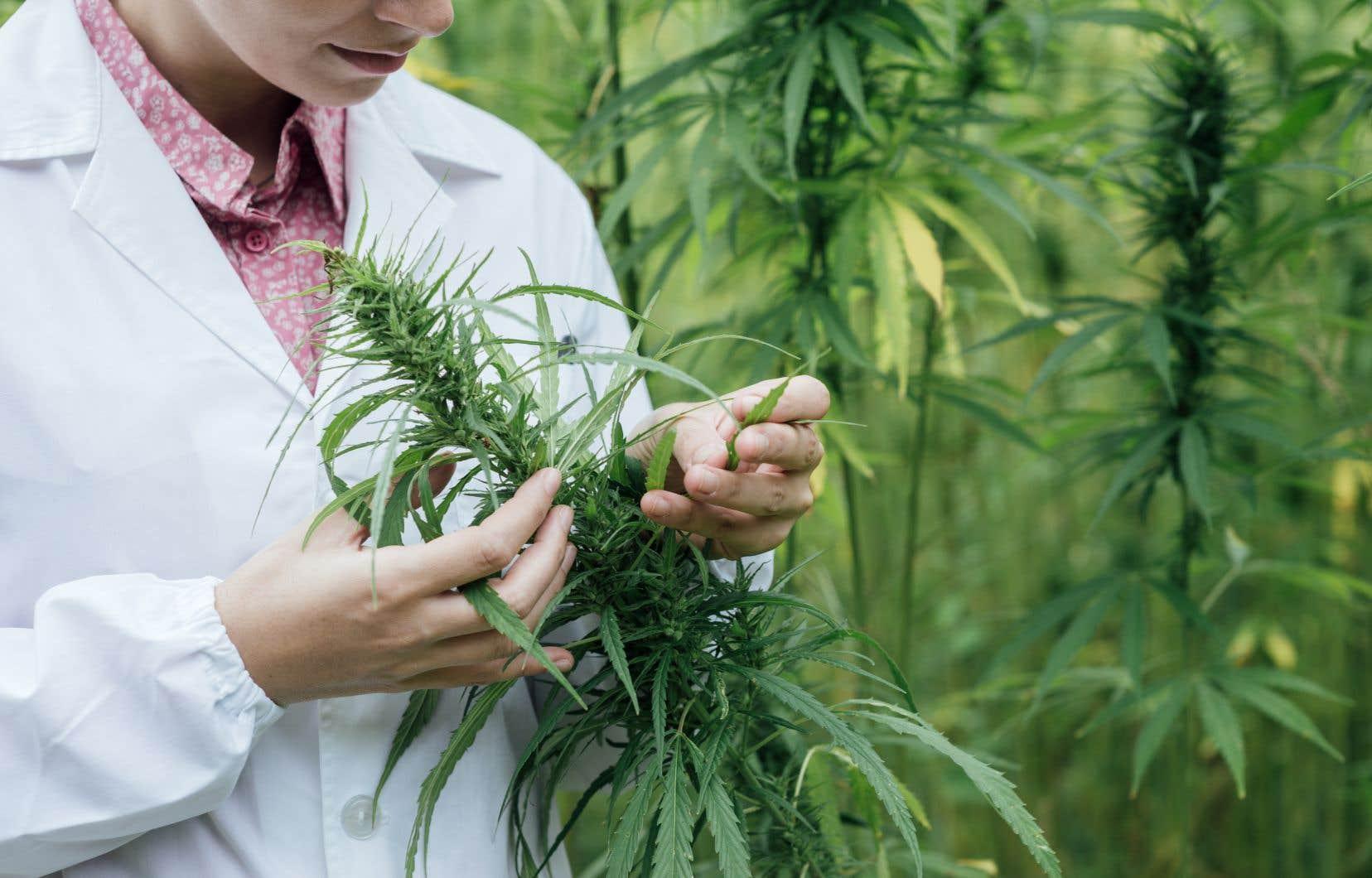 Aux États-Unis, le cannabis est criminellement placé sur le même pied d'égalité que l'héroïne et la cocaïne.